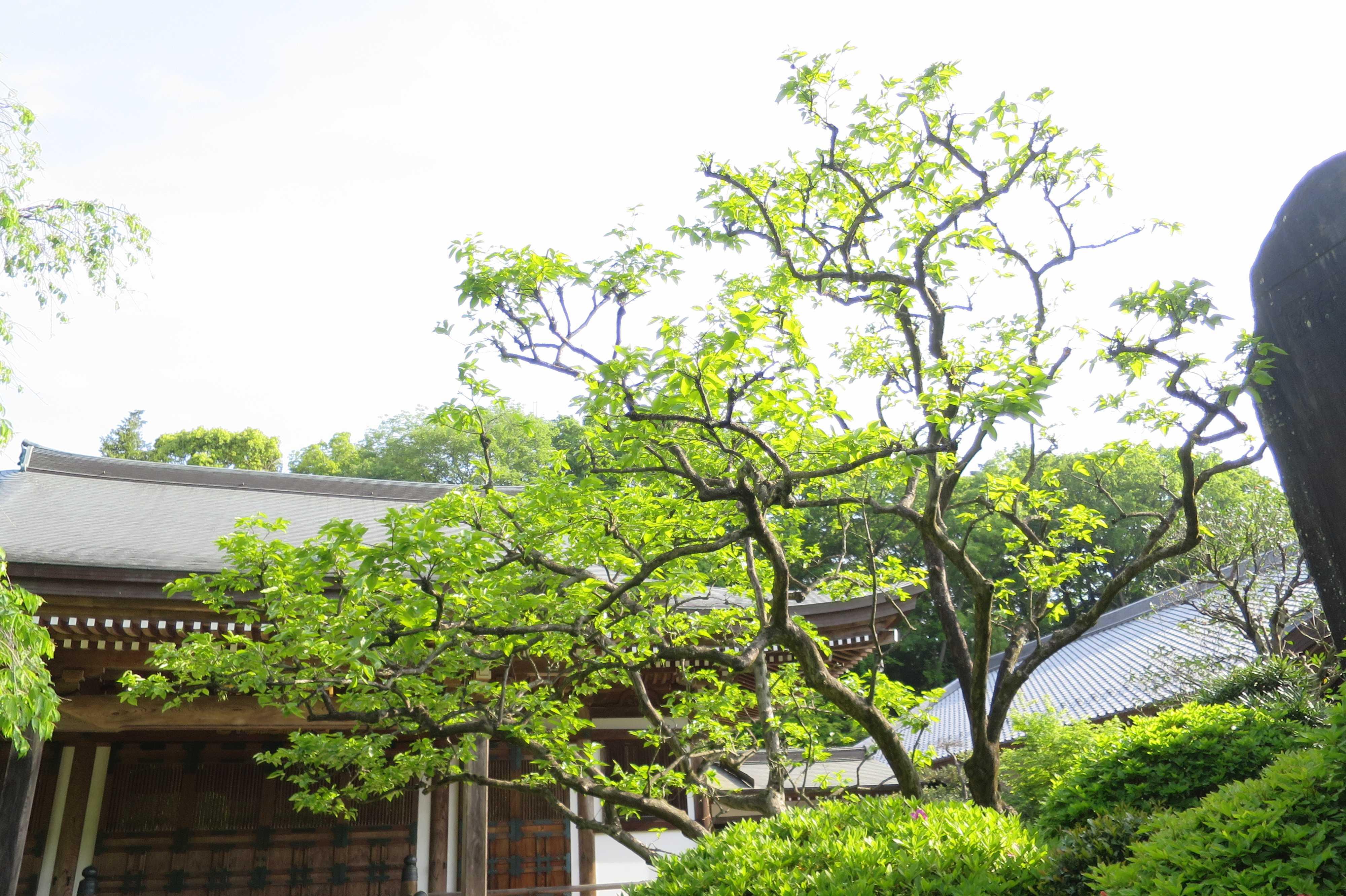 フレッシュなグリーンに染まった禅寺丸の原木