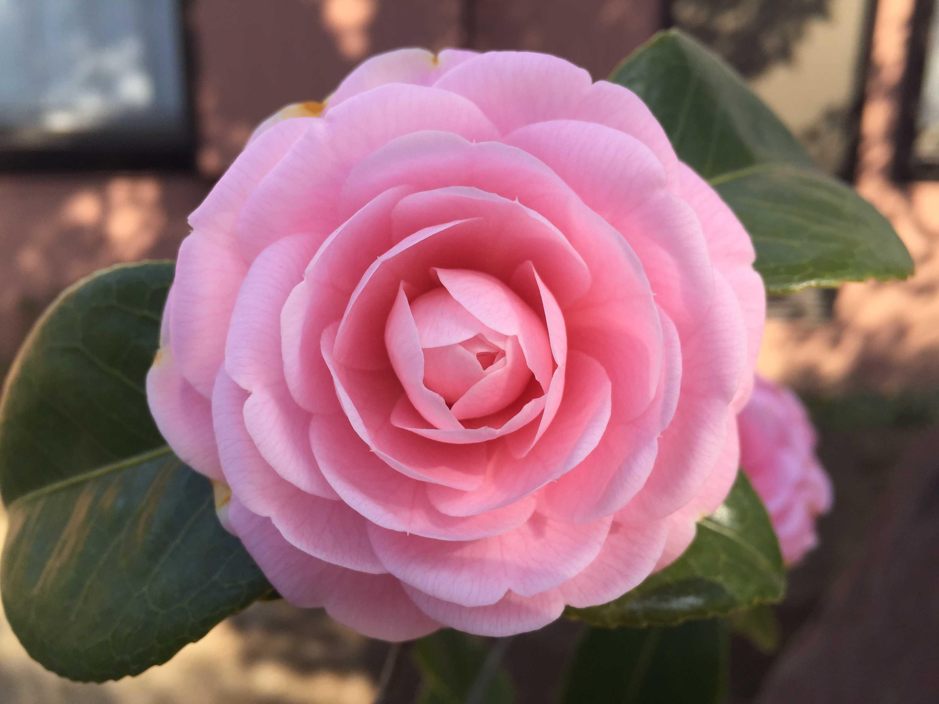 開花した淡乙女(ウスオトメ)の花