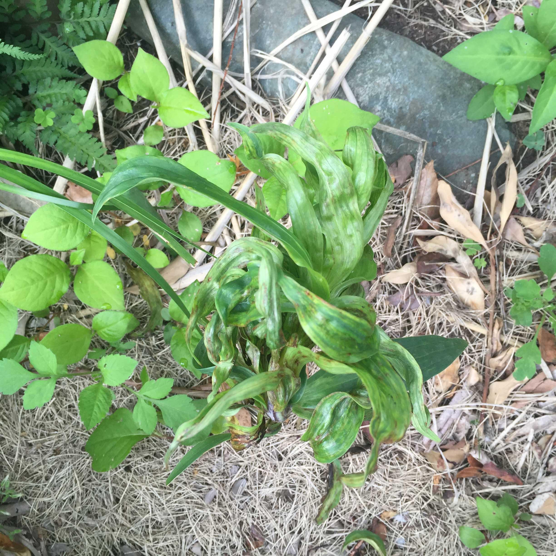 病気のヤマユリの茎葉
