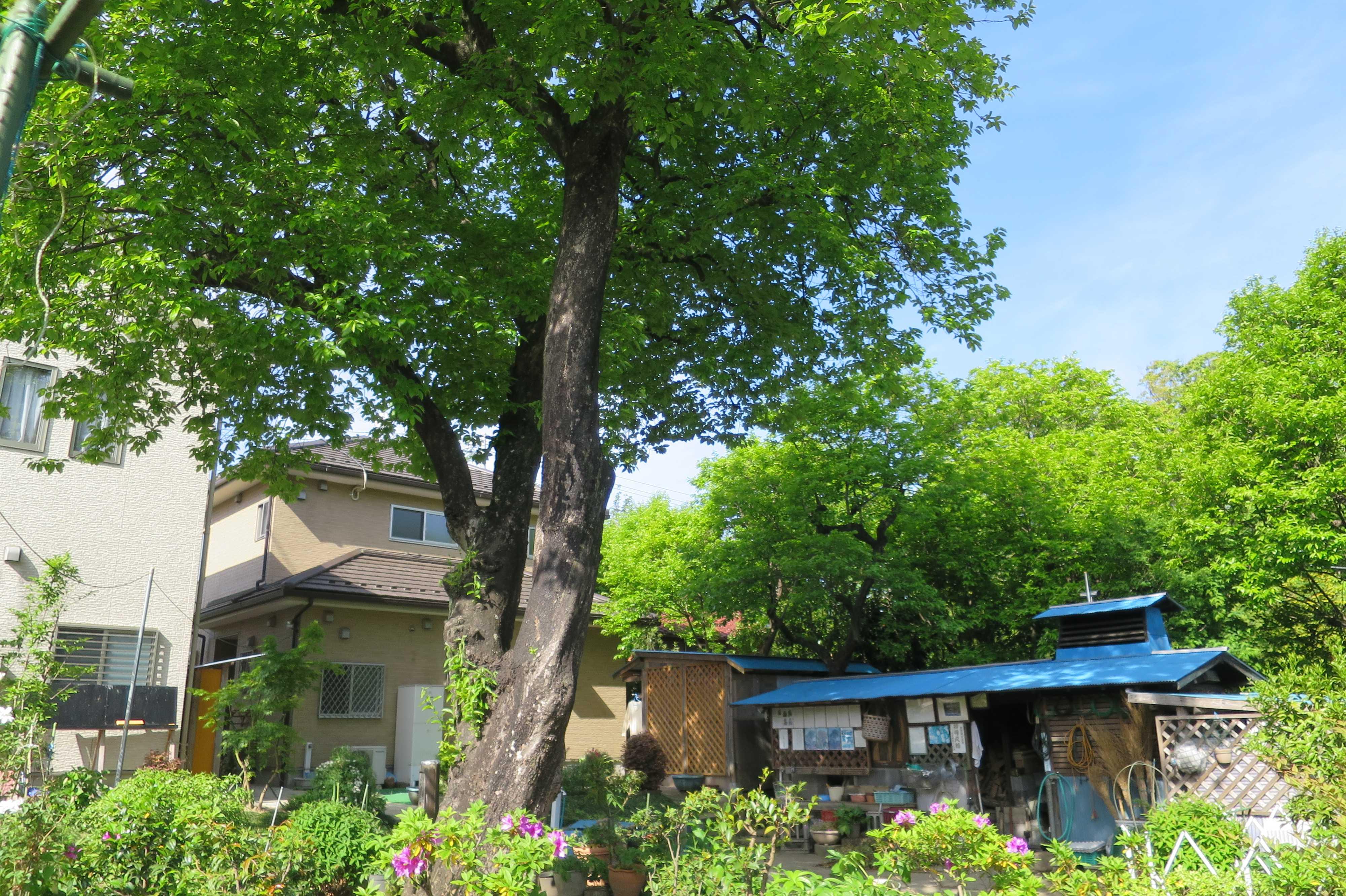 うつくしい岡上の禅寺丸柿の木(カキノキ)