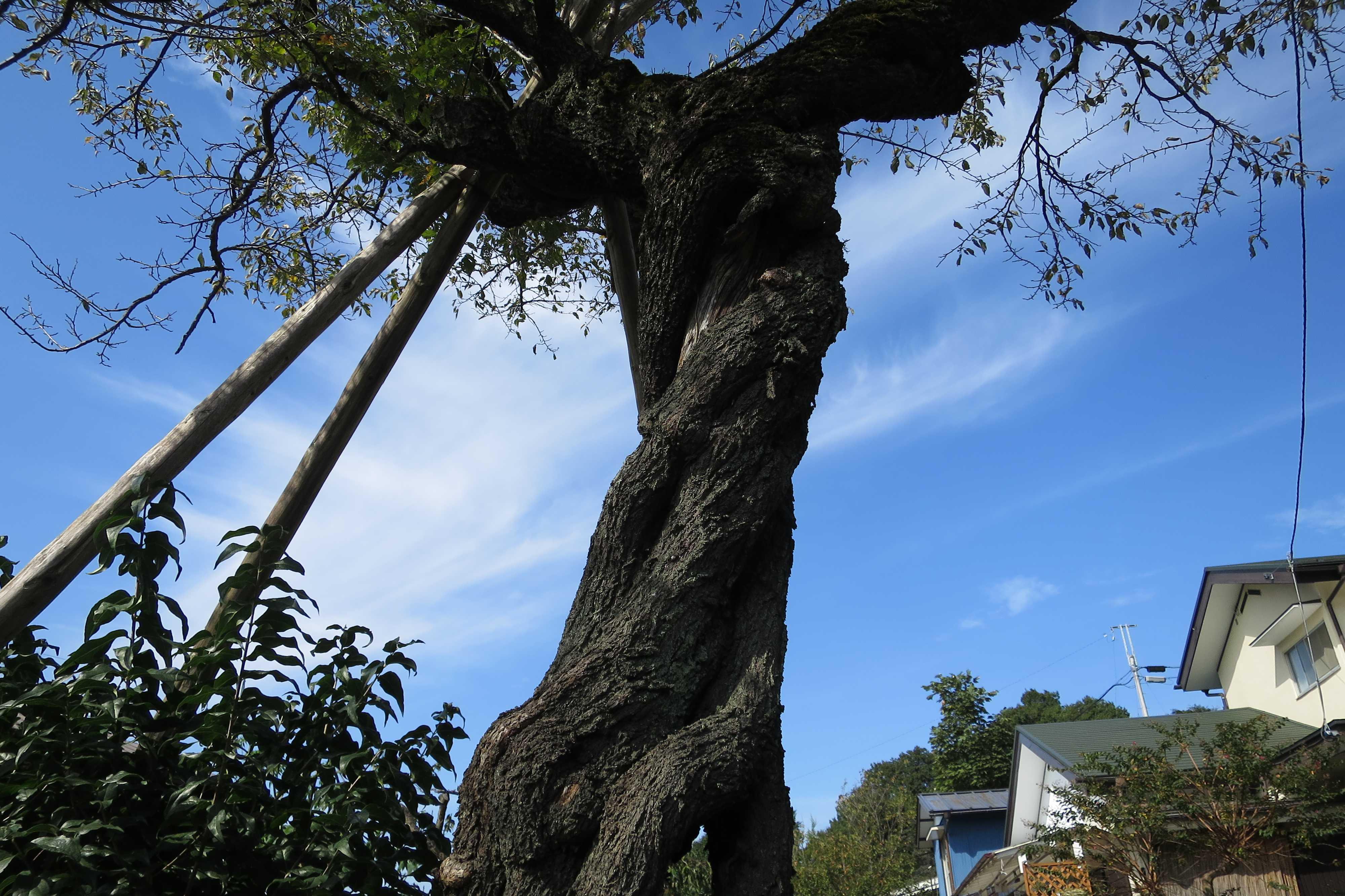 幹がねじれた面白い木