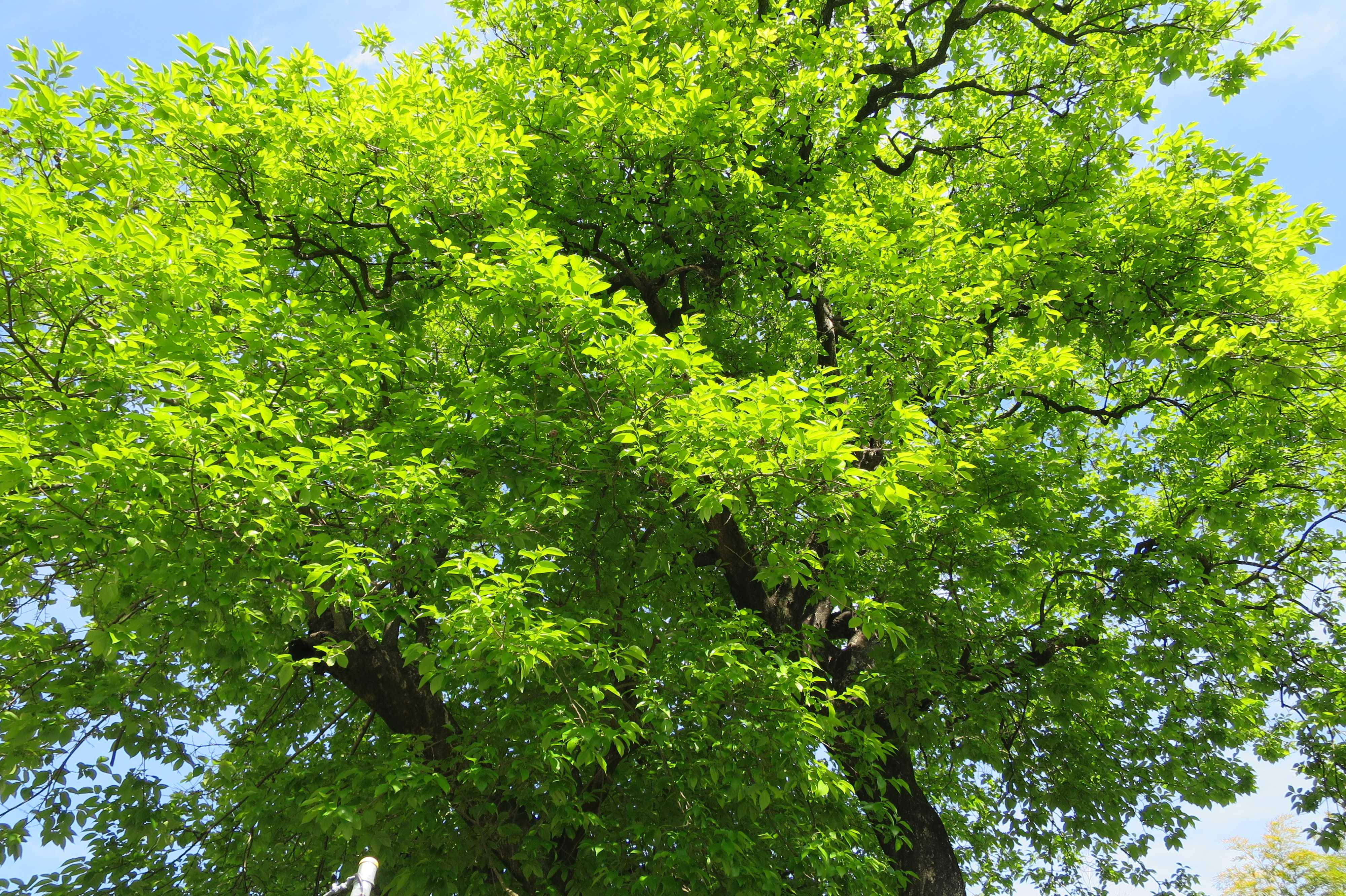 岡上の禅寺丸柿の木(カキノキ)の柿若葉