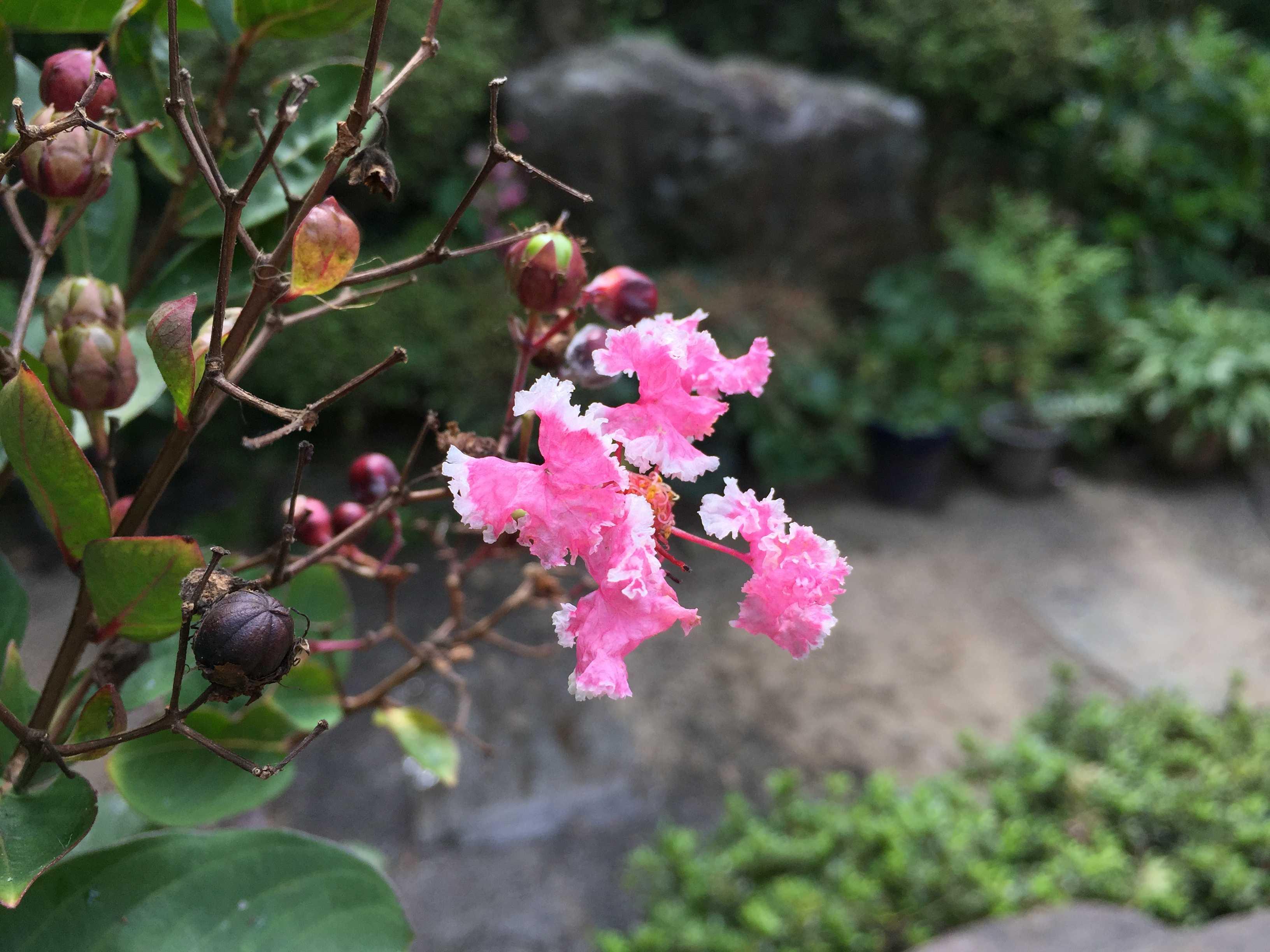 愛くるしいサルスベリ「ペパーミントレース(夏祭り)」のピンクの花