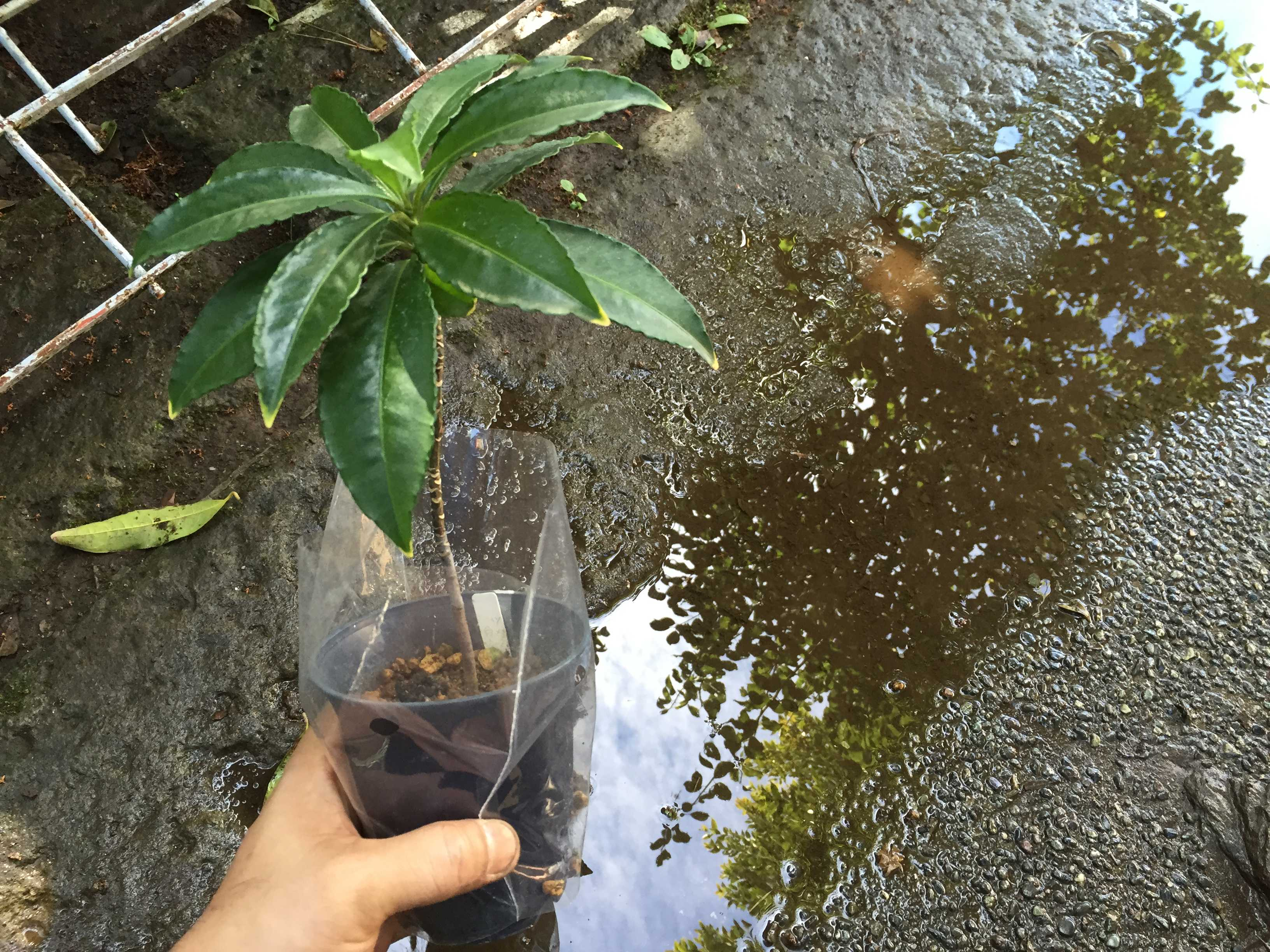 爪斑万両(マンリョウ)の植え付け - 爪斑