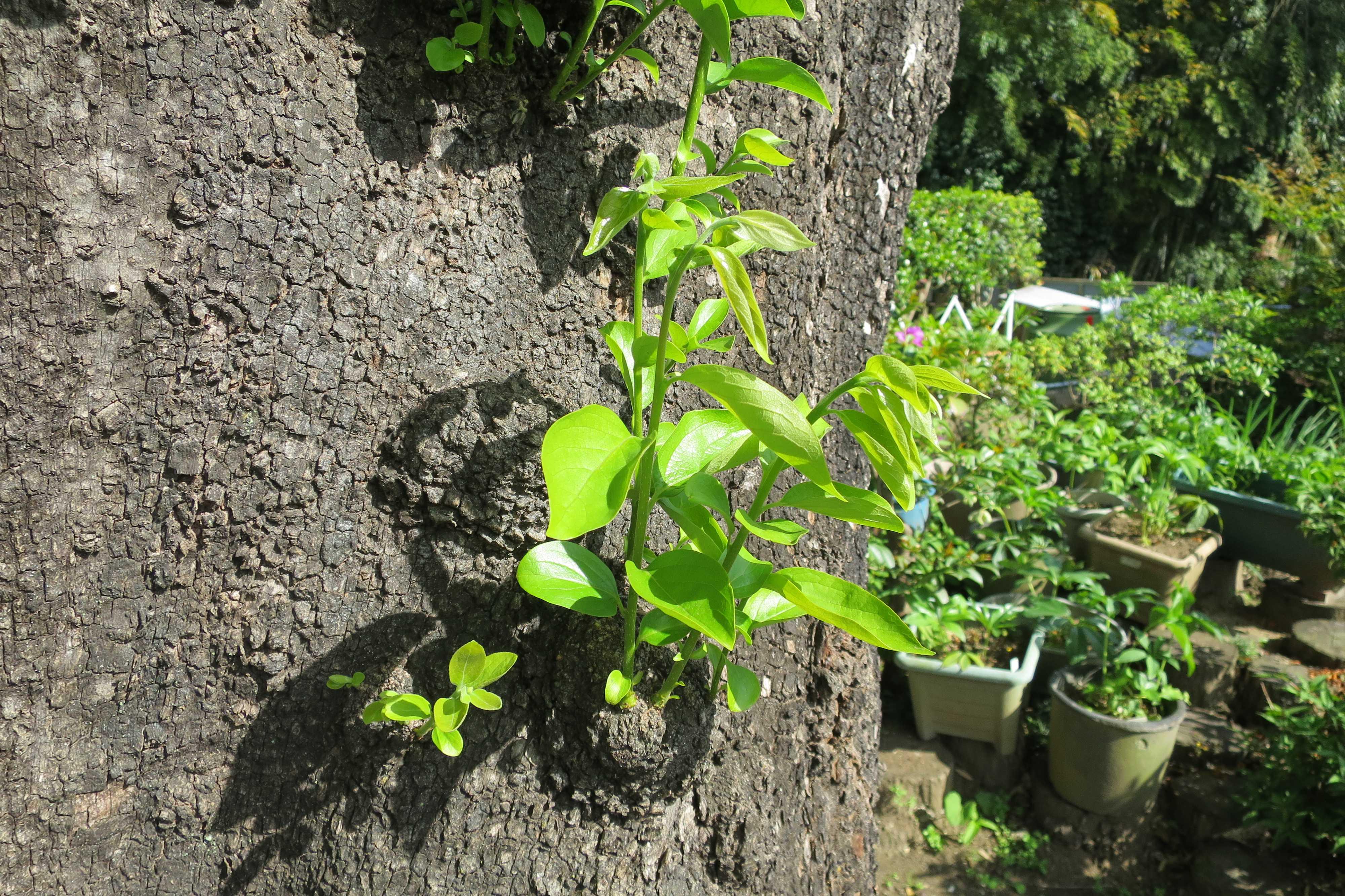 岡上の禅寺丸柿の新枝