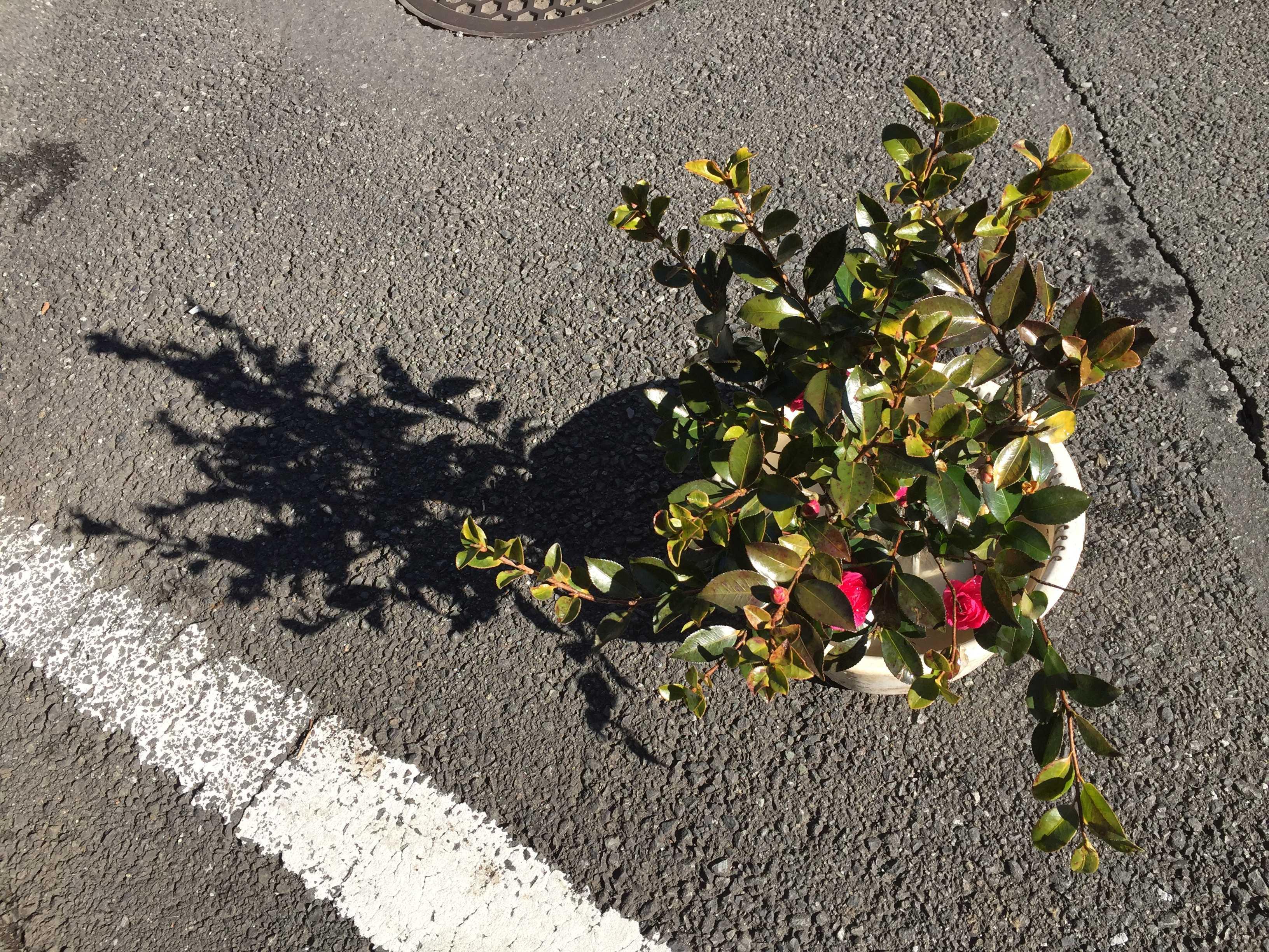サザンカのハイカンツバキ(這い寒椿)の苗木