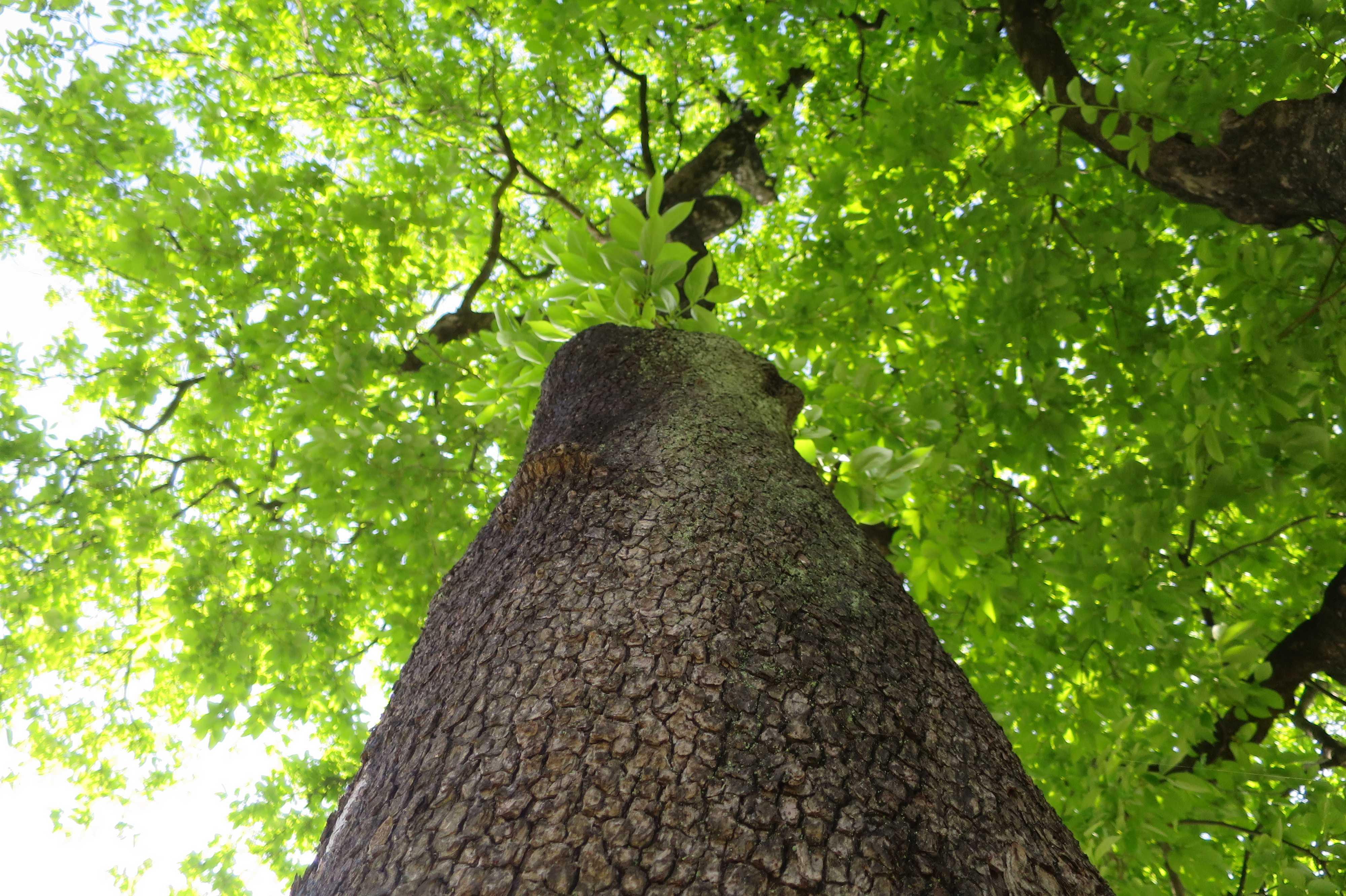 400年の古い柿の木の若葉!岡上...