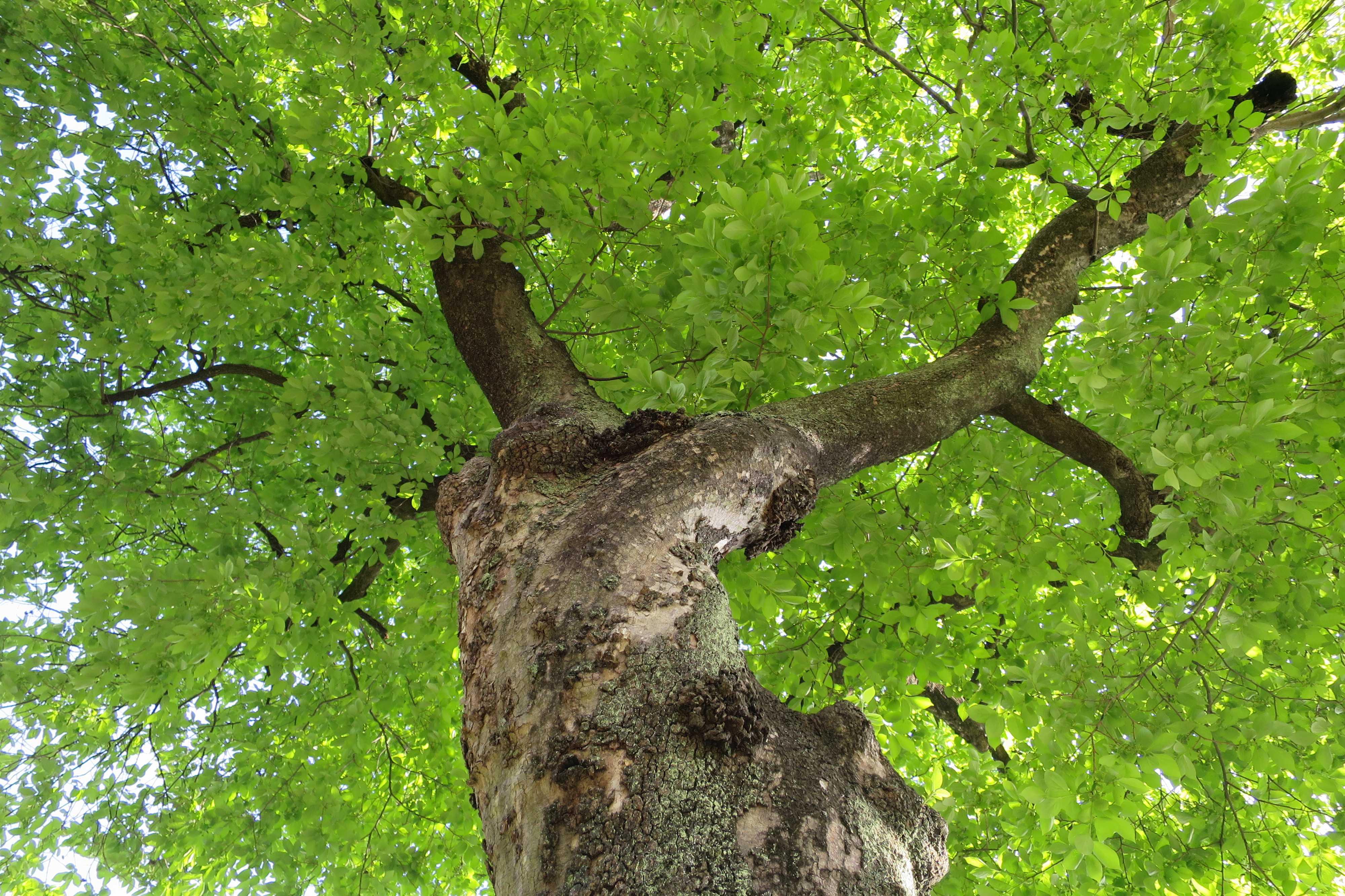 国登録記念物の民家の柿の木 - 麻生区岡上の民家にある禅寺丸柿の古木