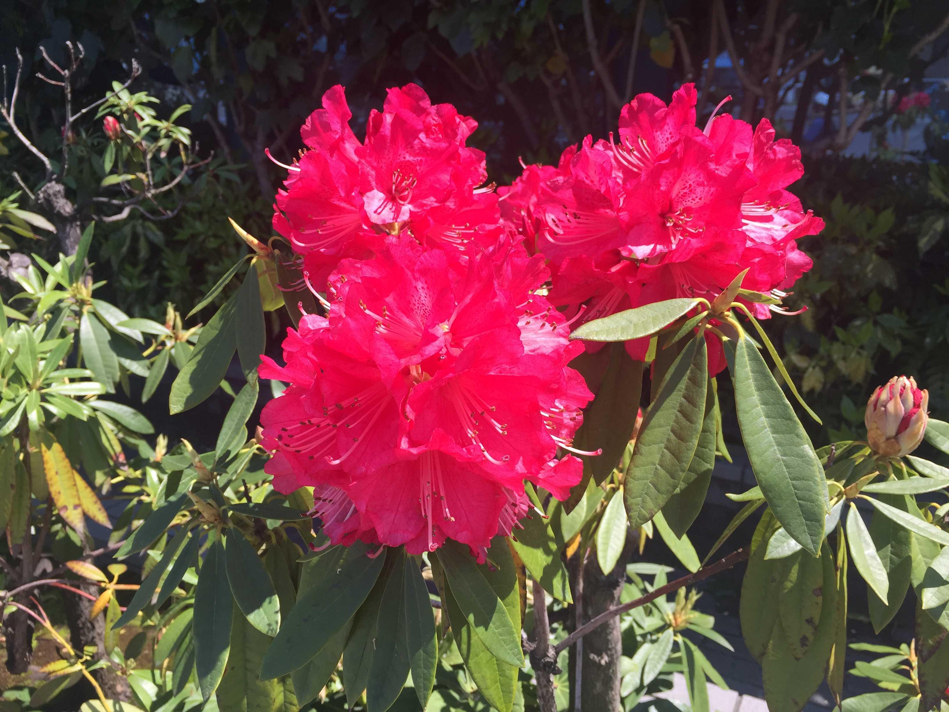 シャクナゲの赤い花