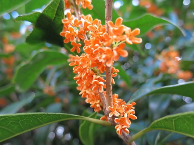 橙黄色の金木犀の花(橙黄色のキンモクセイの花)