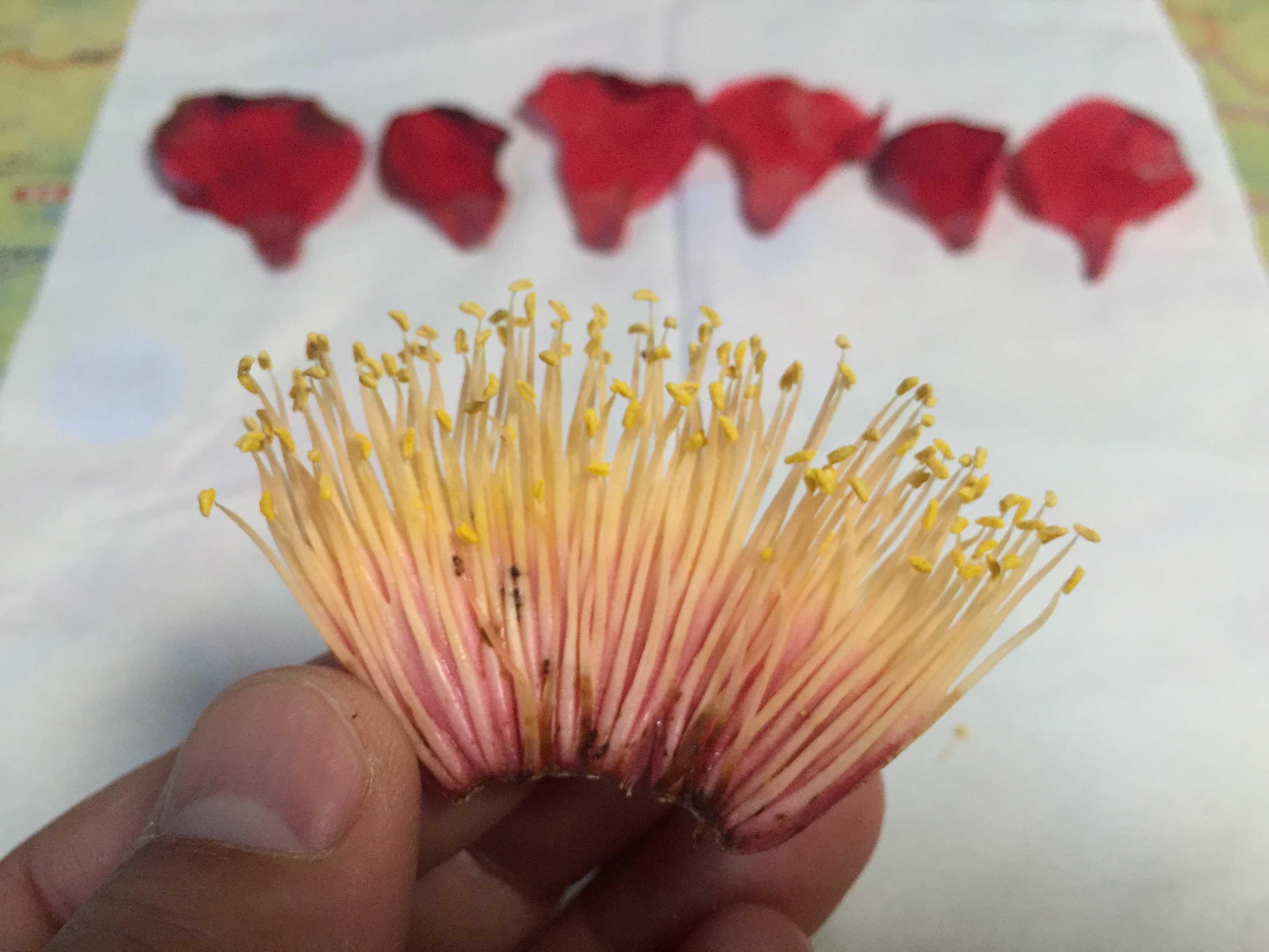 玉之浦椿 - ツバキのおしべ、めしべ、花弁(花びら)の数