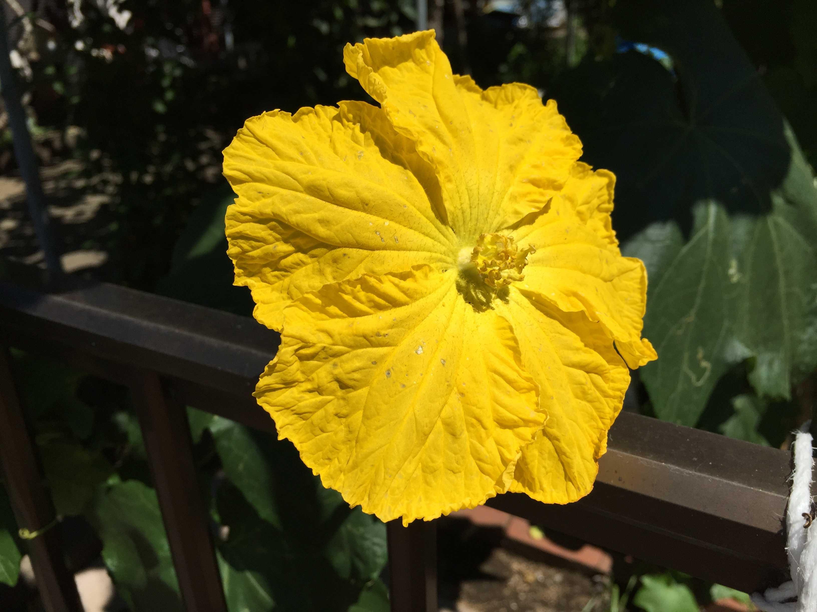 真っ黄色なヘチマの花