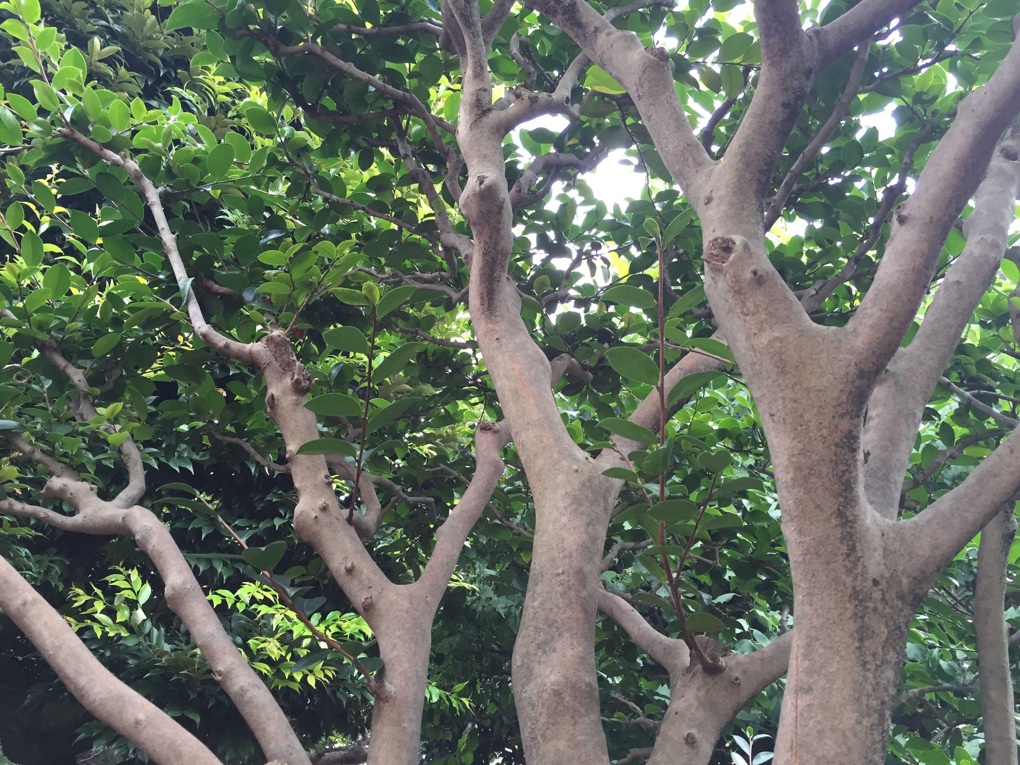 庭の椿(ツバキ)の木