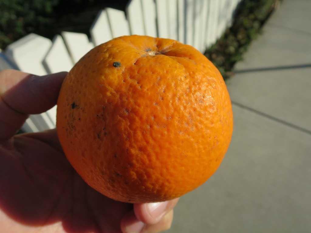 サンノゼ - もらったオレンジ