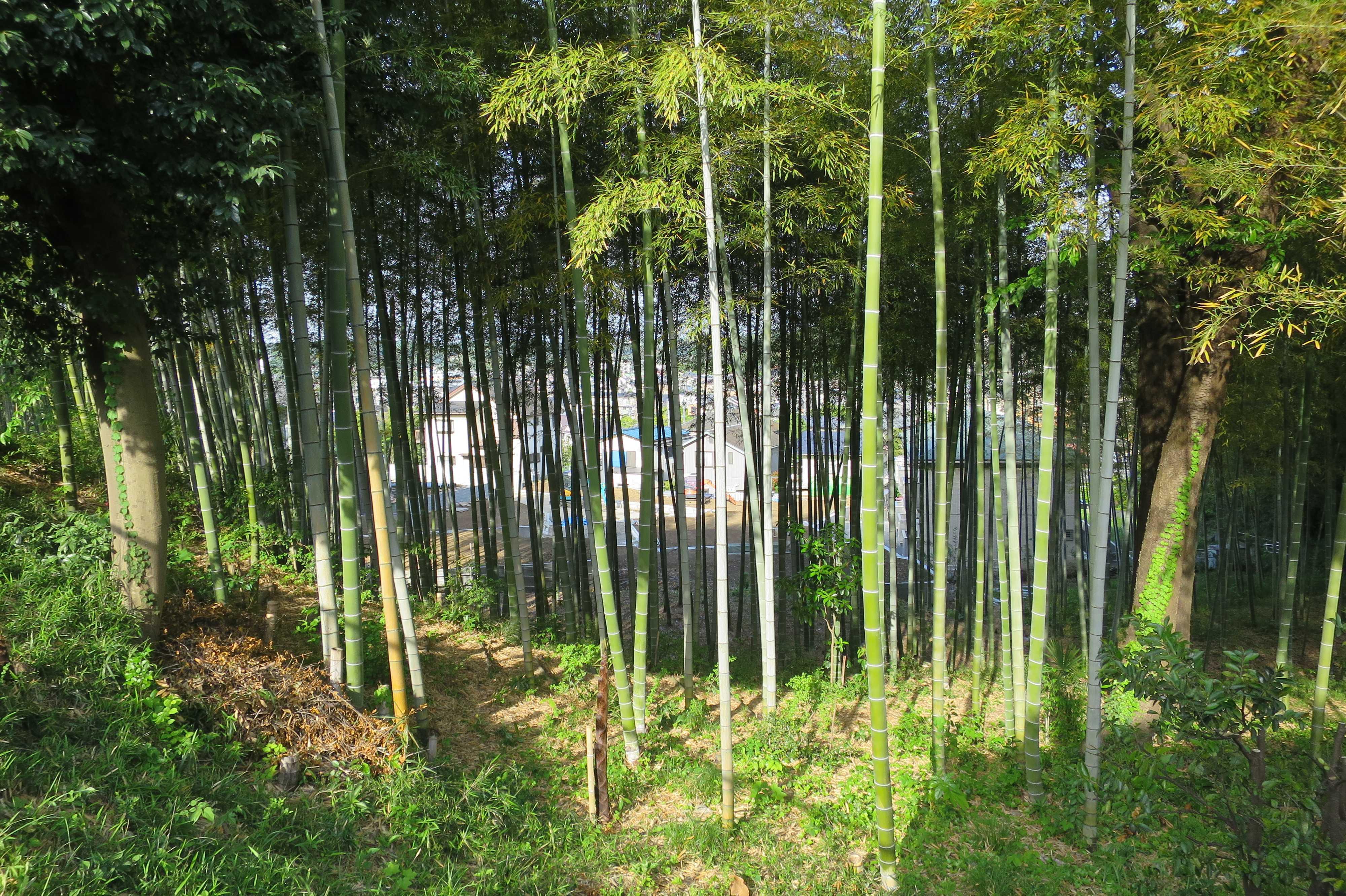 柿生の里の竹林