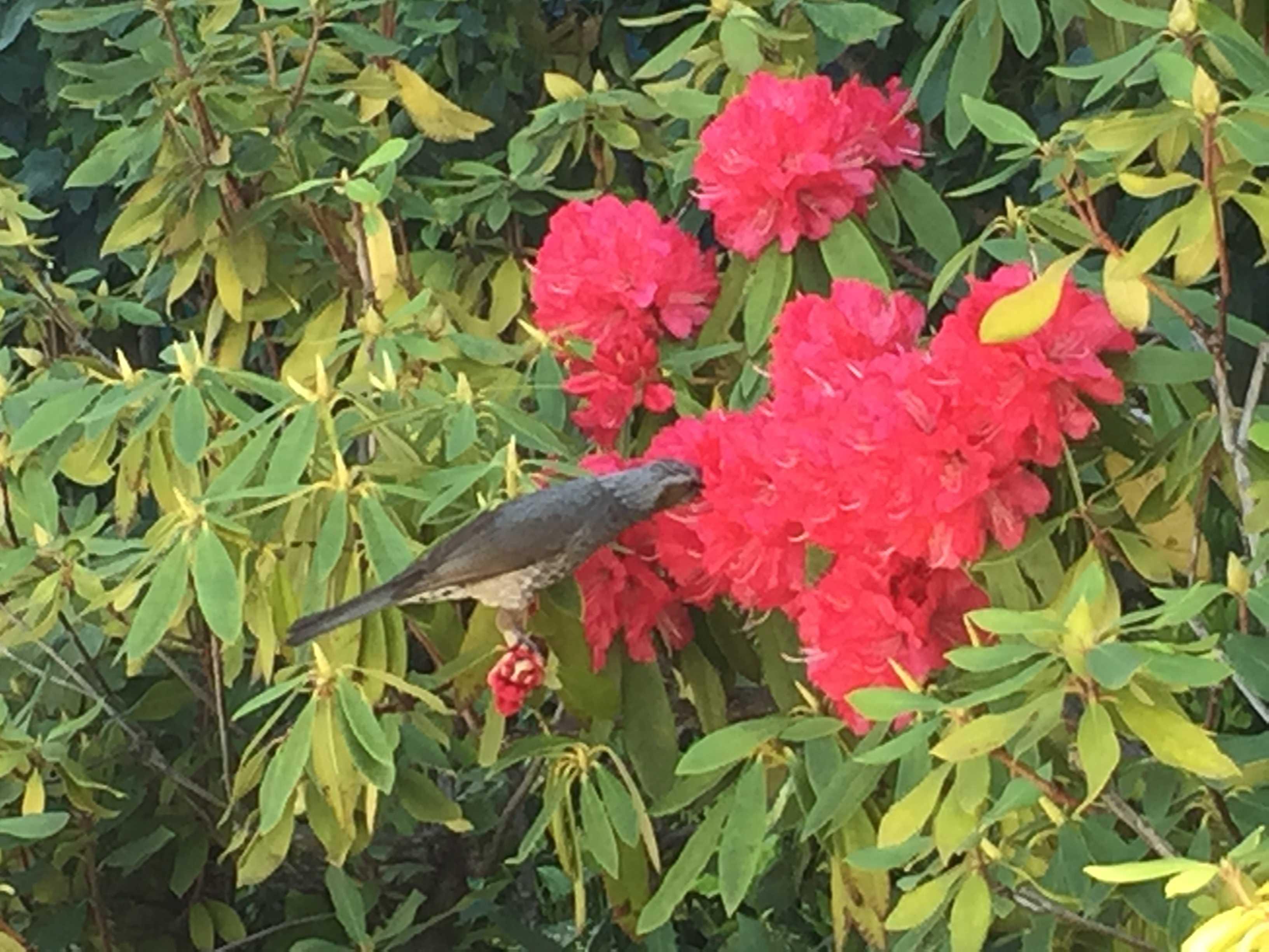 シャクナゲの蜜を吸う鳥