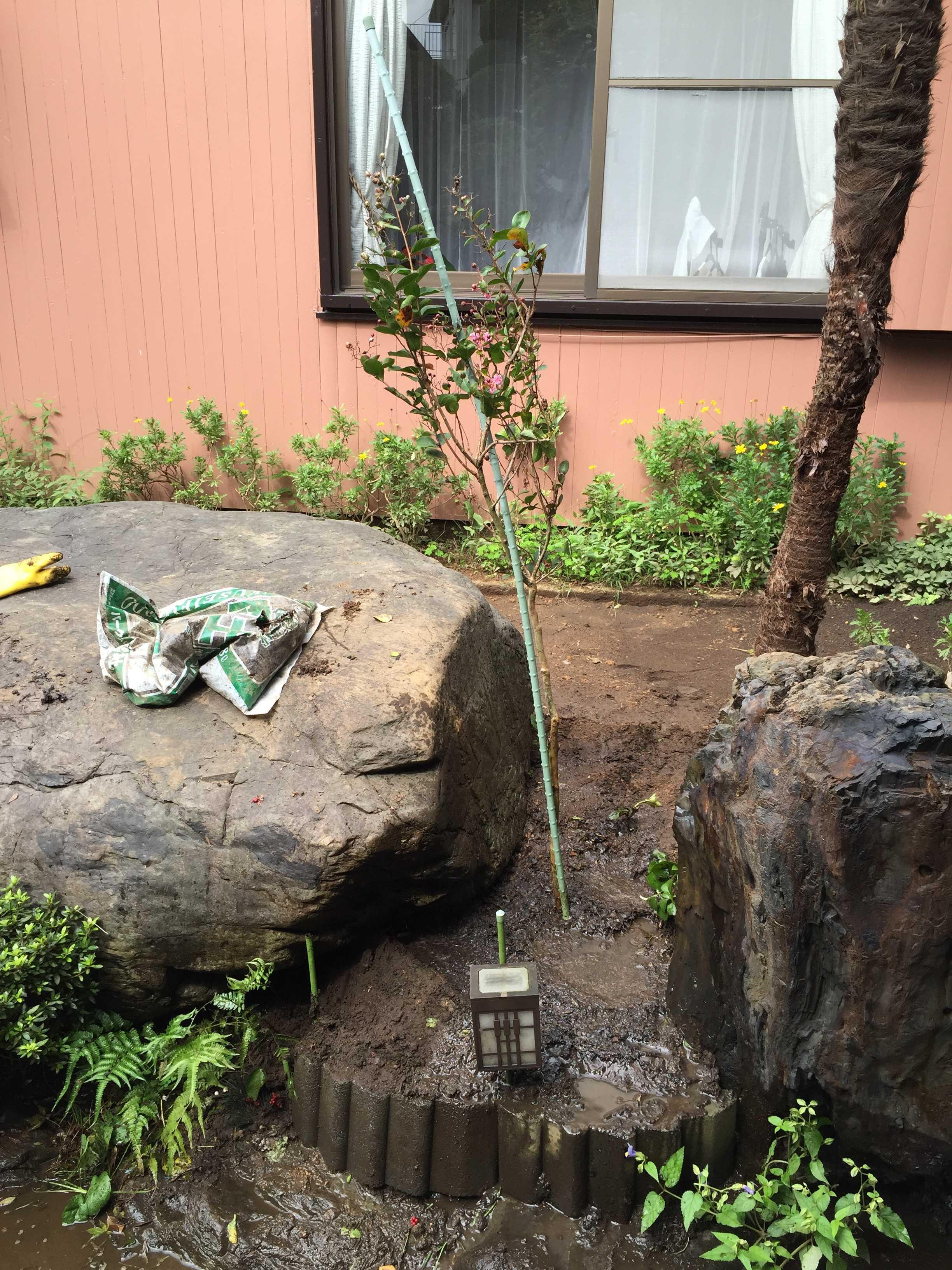 植え付け直後のサルスベリ「夏祭り(ペパーミントレース)」の写真