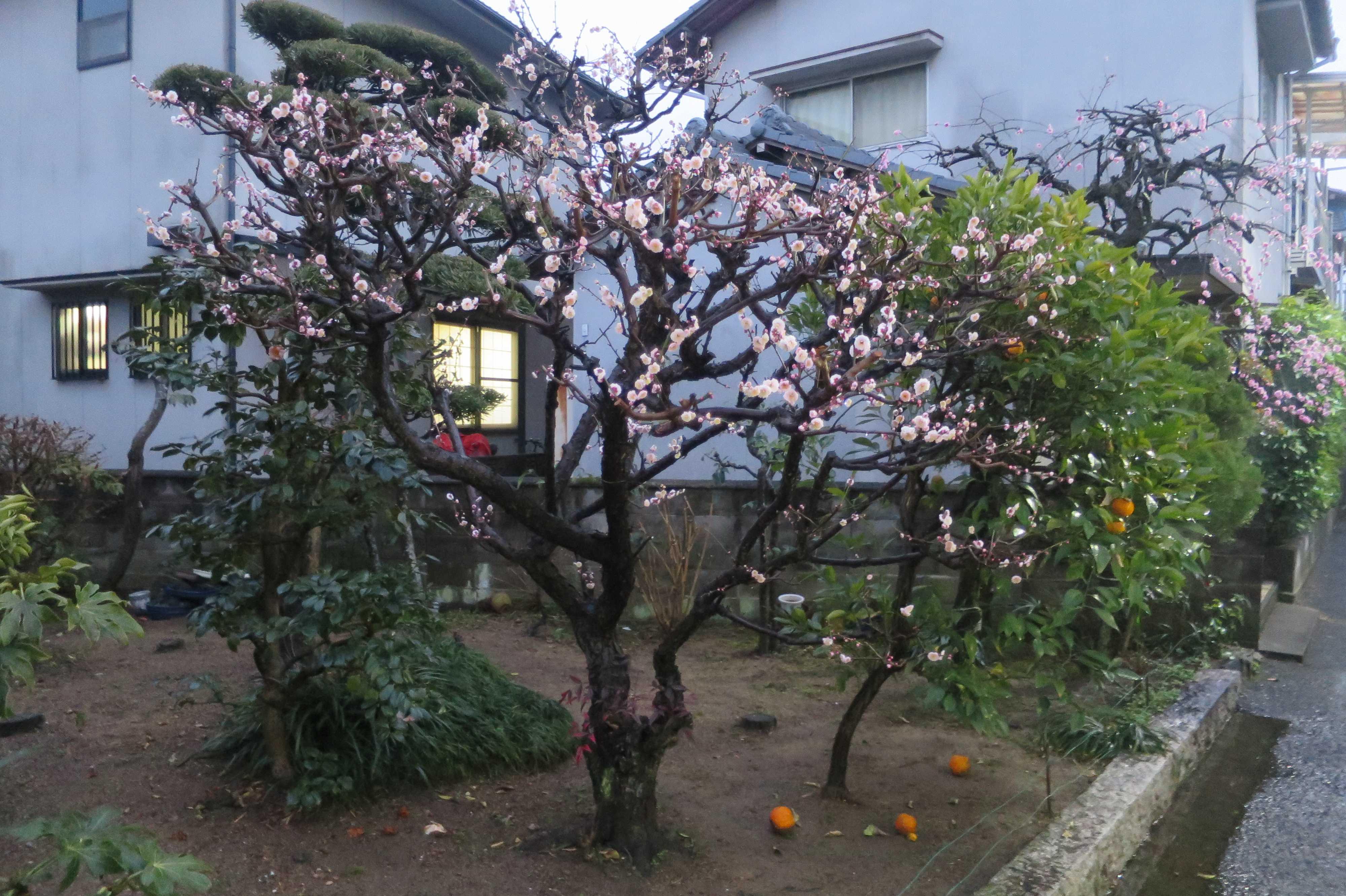 西大寺 - ピンクの梅