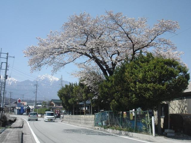 道路に覆いかぶさる見事な桜