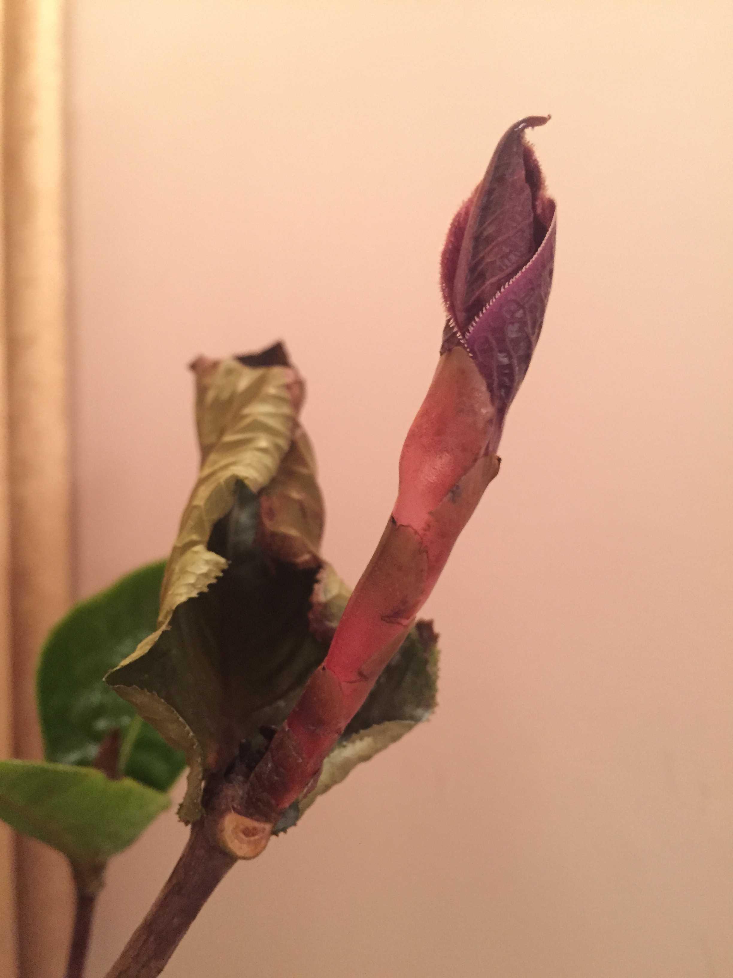 「ムラウチィ」の葉芽