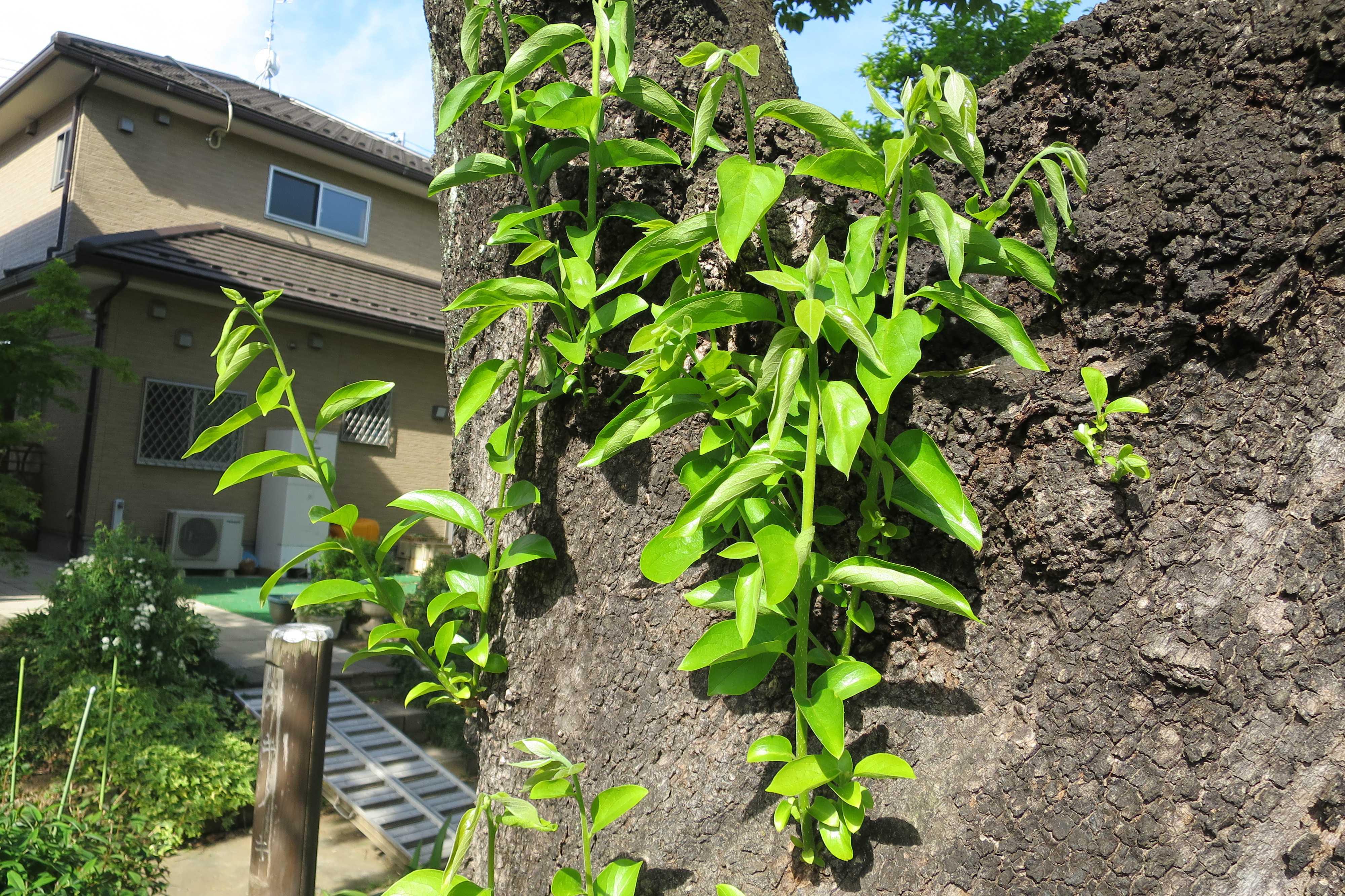 岡上の禅寺丸柿の木(カキノキ)の萌芽力