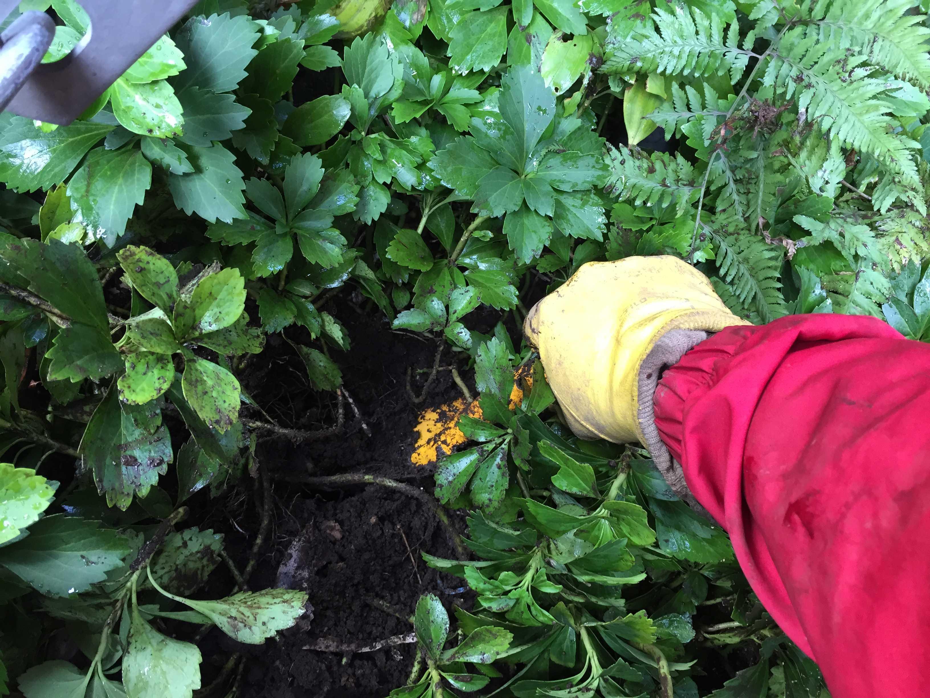 下草の下に球根 - やまゆりの球根の植え付け