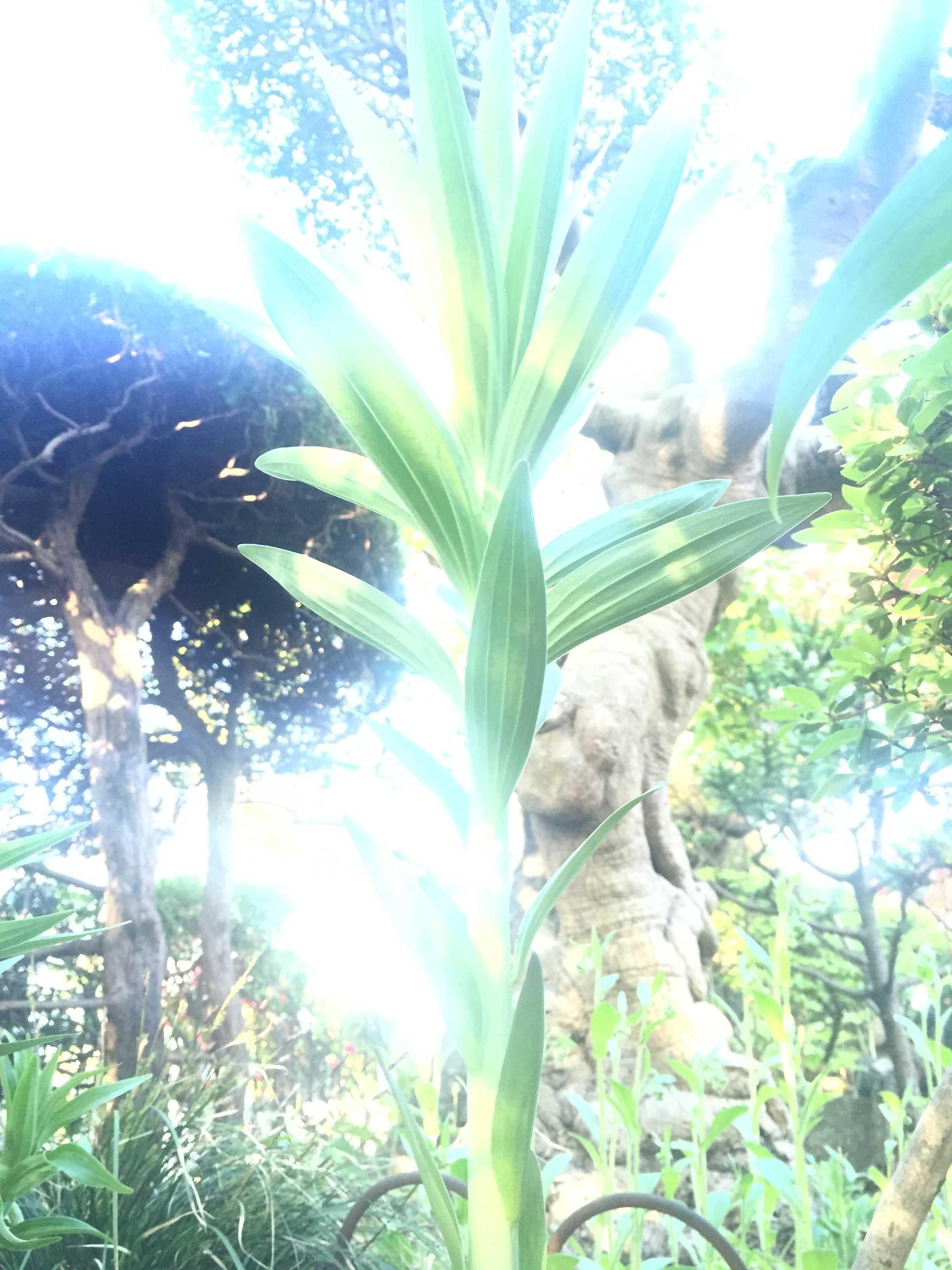 ヤマユリの茎葉(ヤマユリの生長)