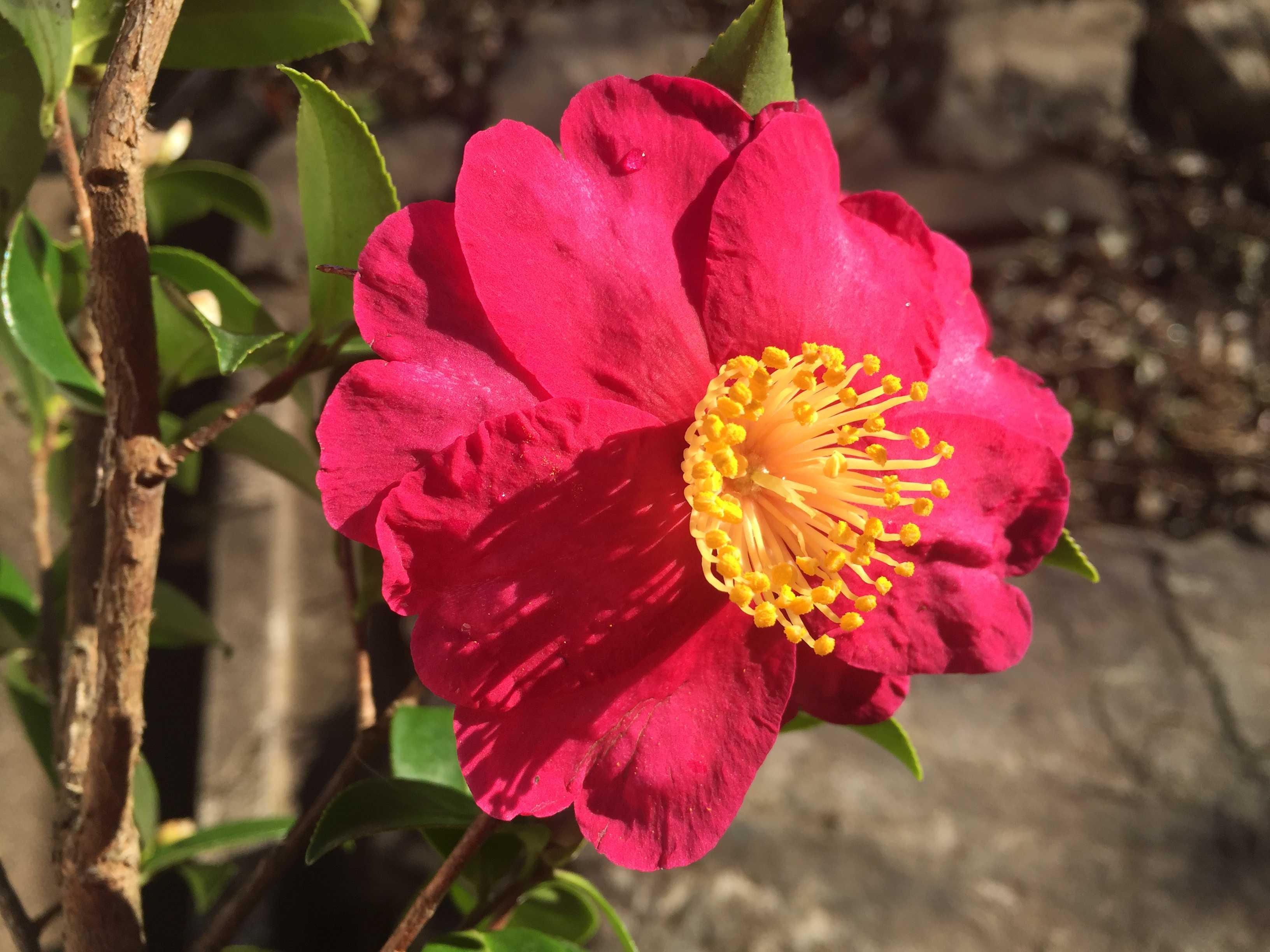 紅色八重咲きのサザンカ - カンツバキ群