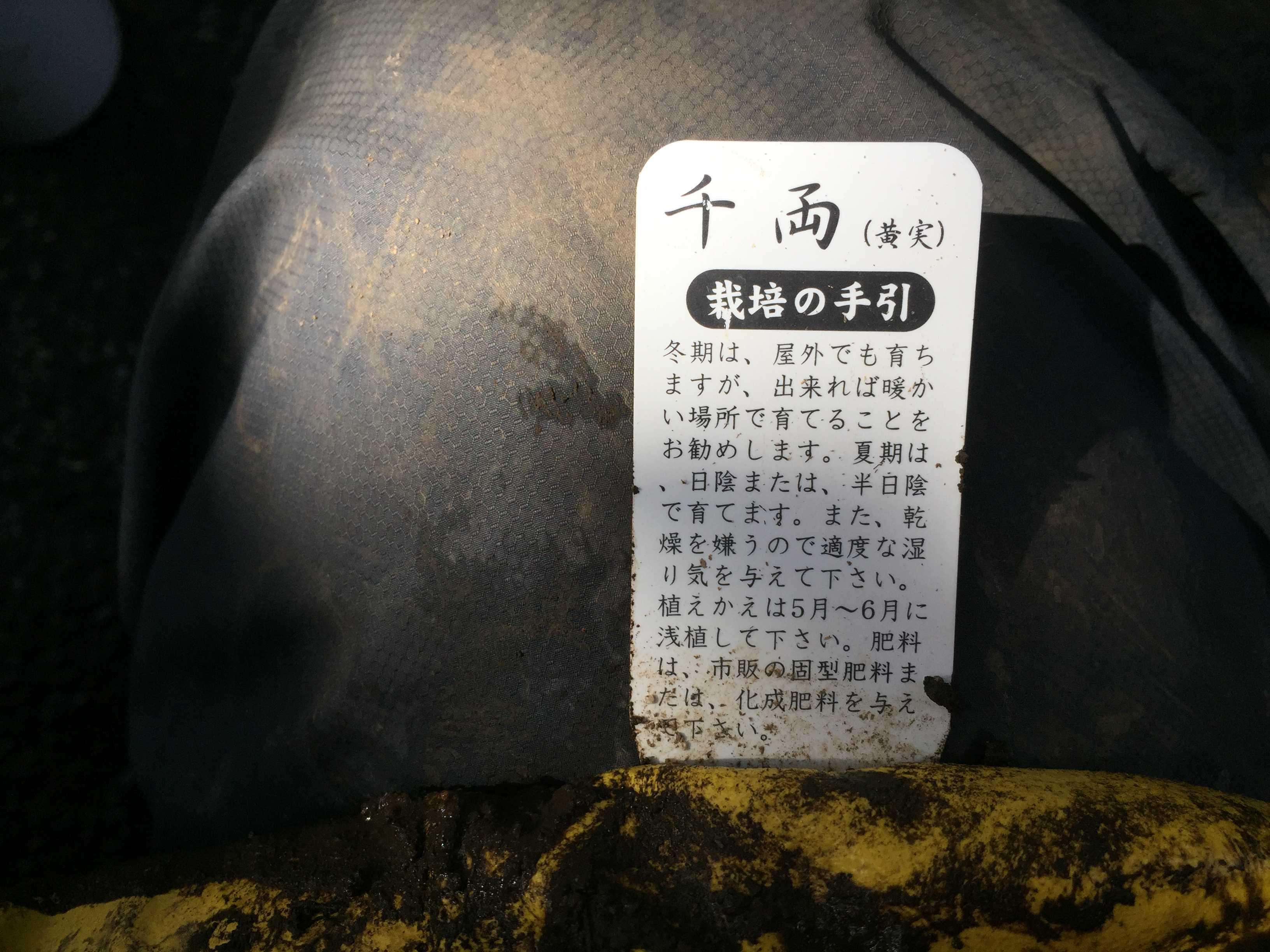 黄実の千両(キミノセンリョウ) の植え付け - 栽培の手引き
