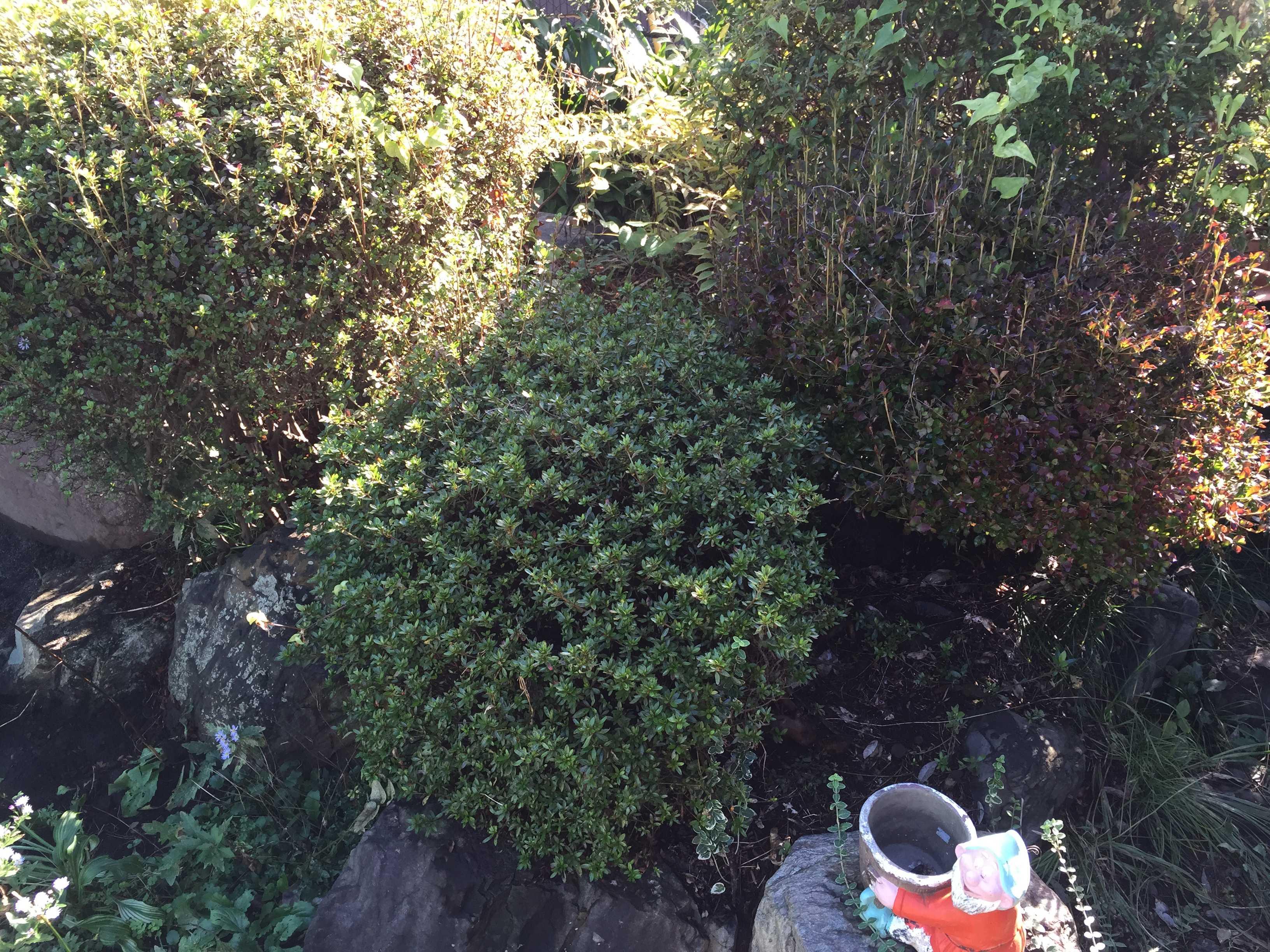 サツキの茂み - やまゆりの球根の植え付け