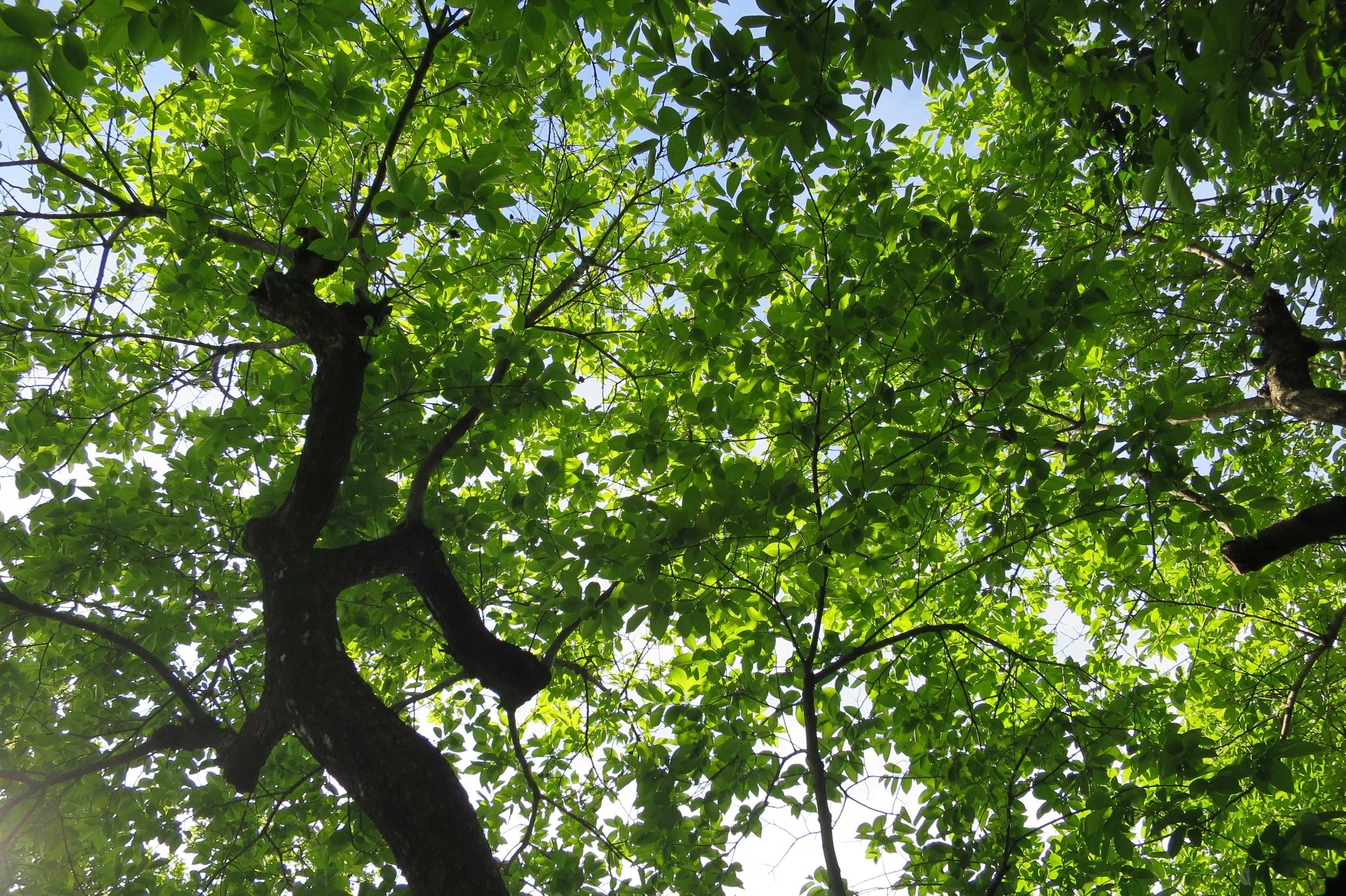 岡上の禅寺丸柿の木の真下