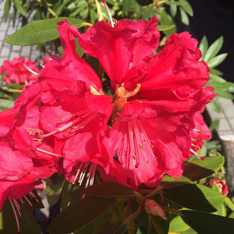 シャクナゲの紅い花