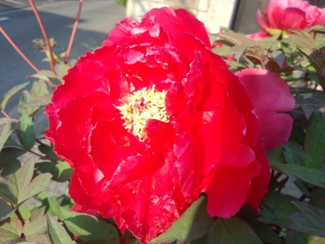赤い牡丹(ぼたん)