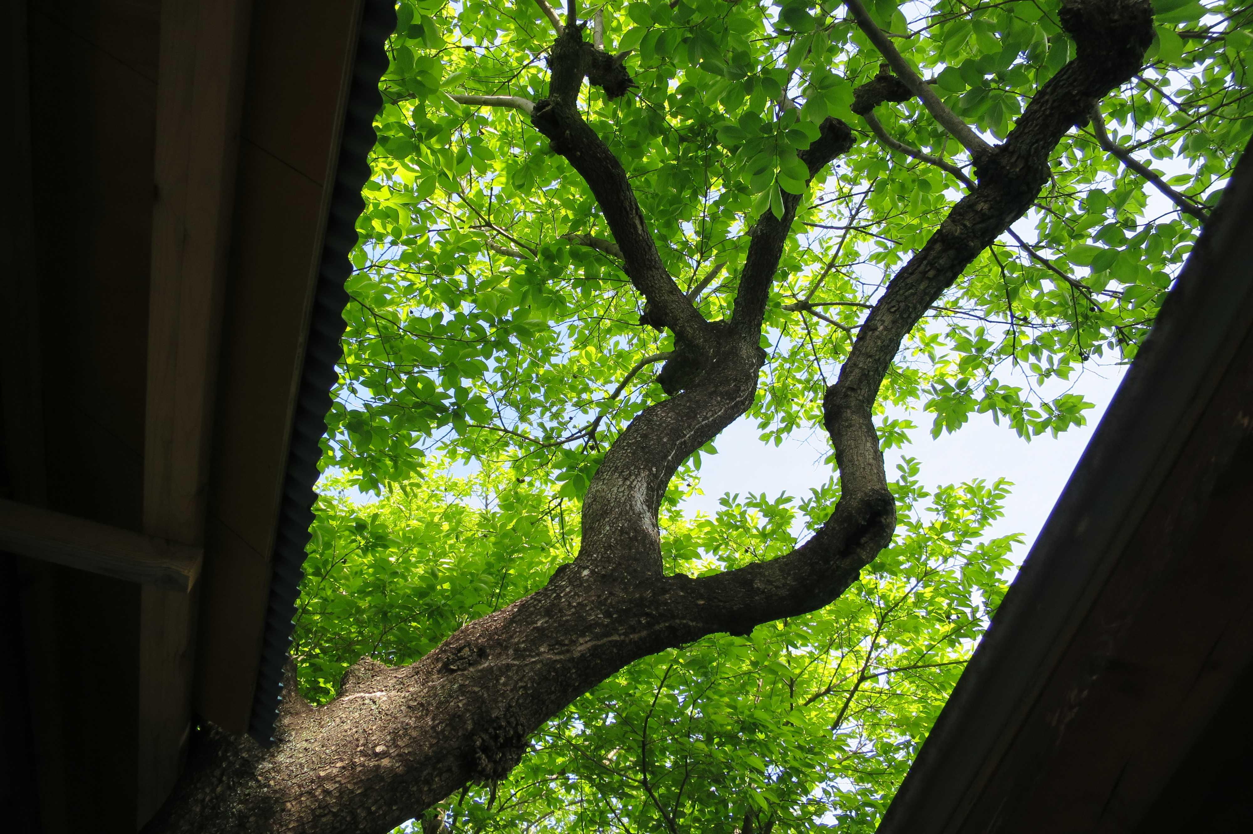 禅寺丸柿の木