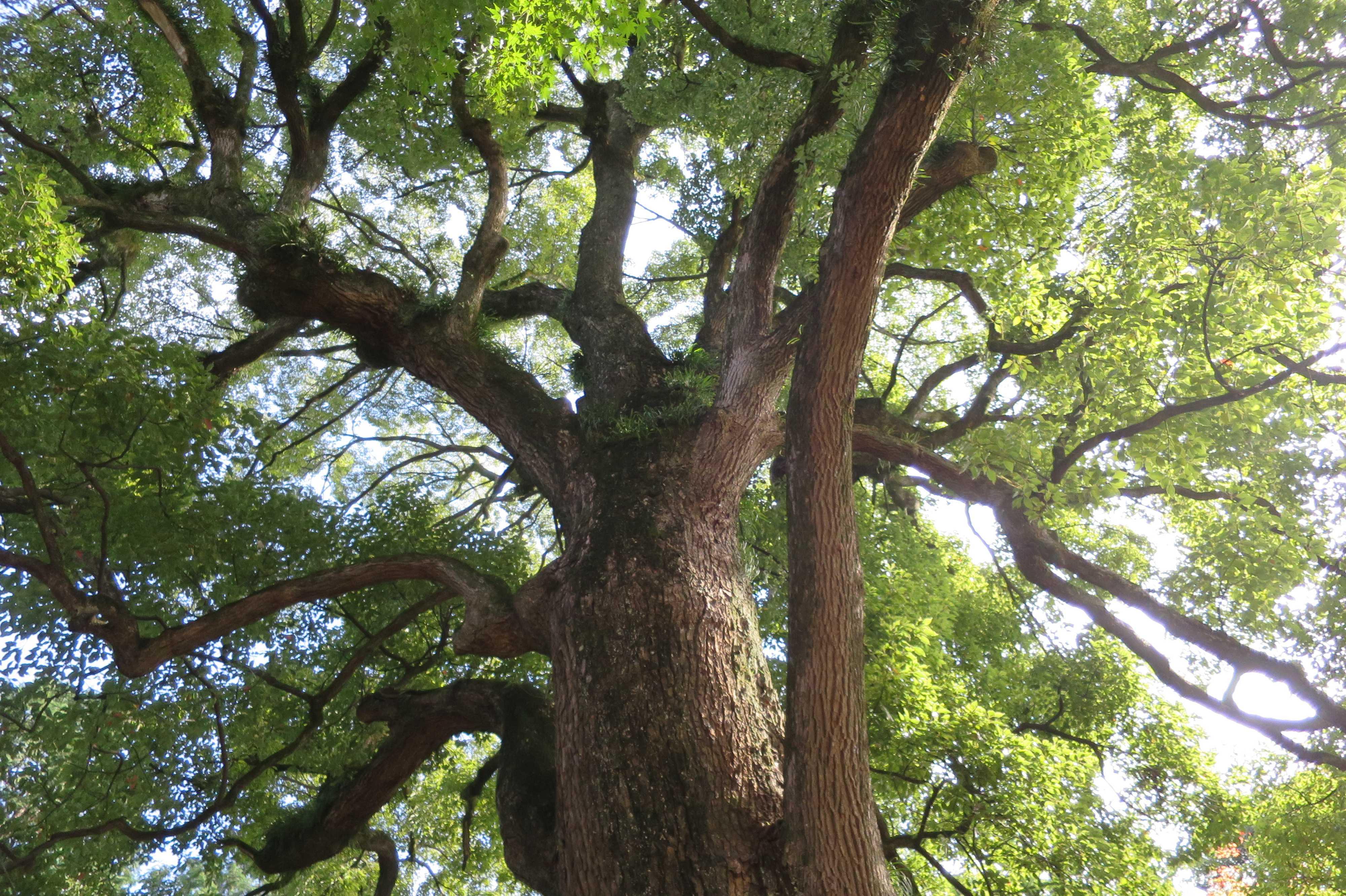 無量光寺の大きな木