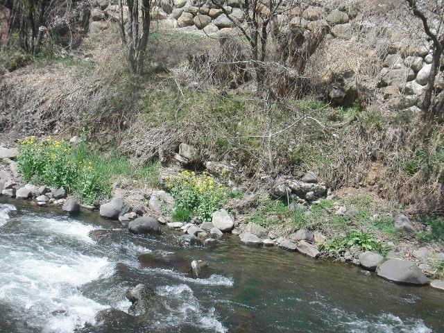 川辺で咲く菜の花