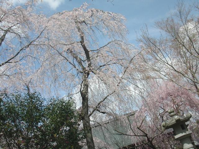 天龍寺・多宝殿前のしだれ桜