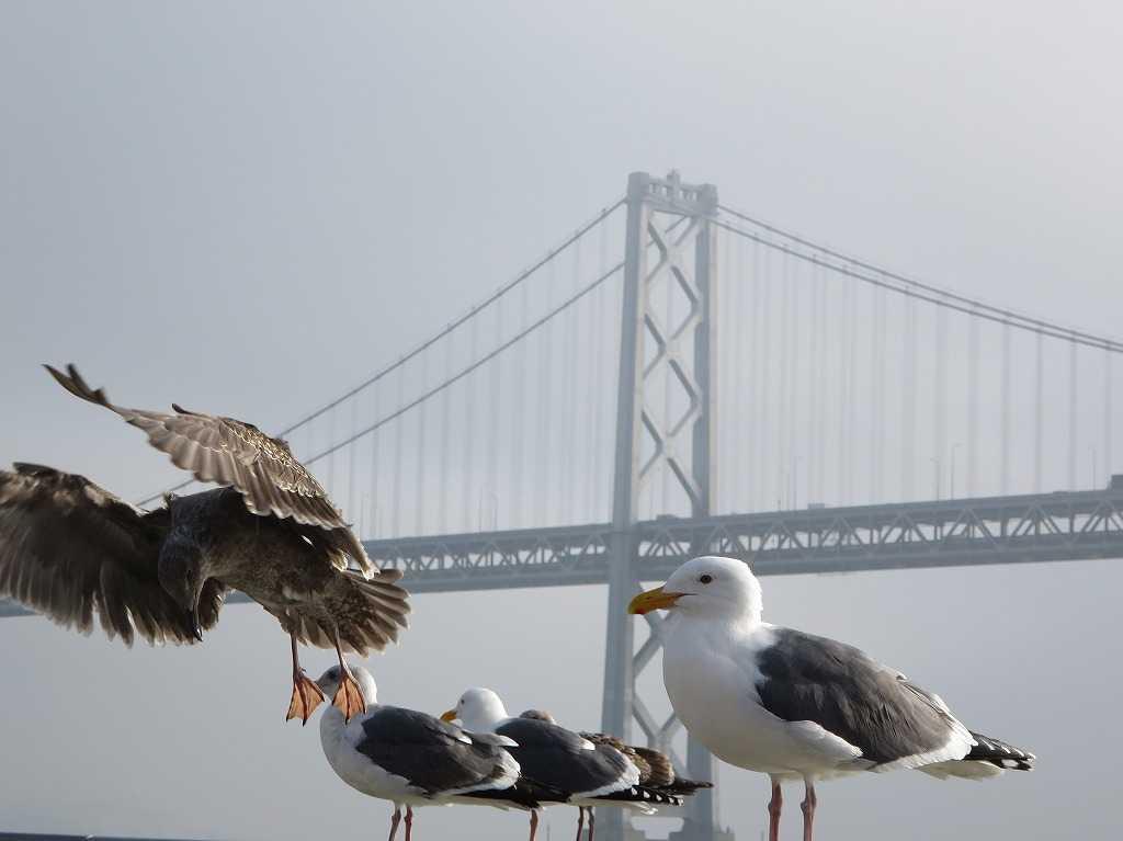 サンフランシスコ湾のかもめ