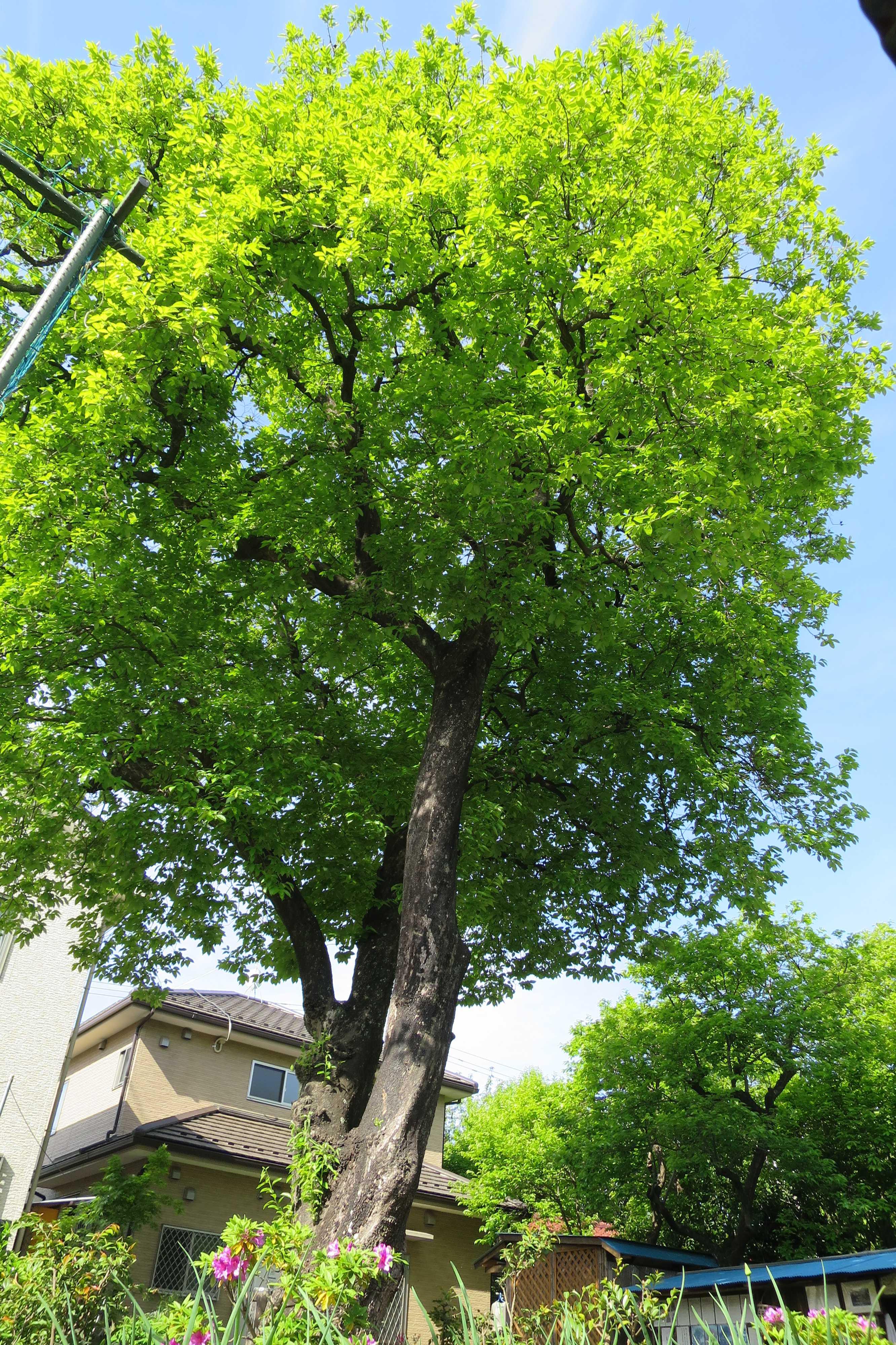 あざやかで強烈な緑色をした岡上の禅寺丸柿の木(カキノキ)