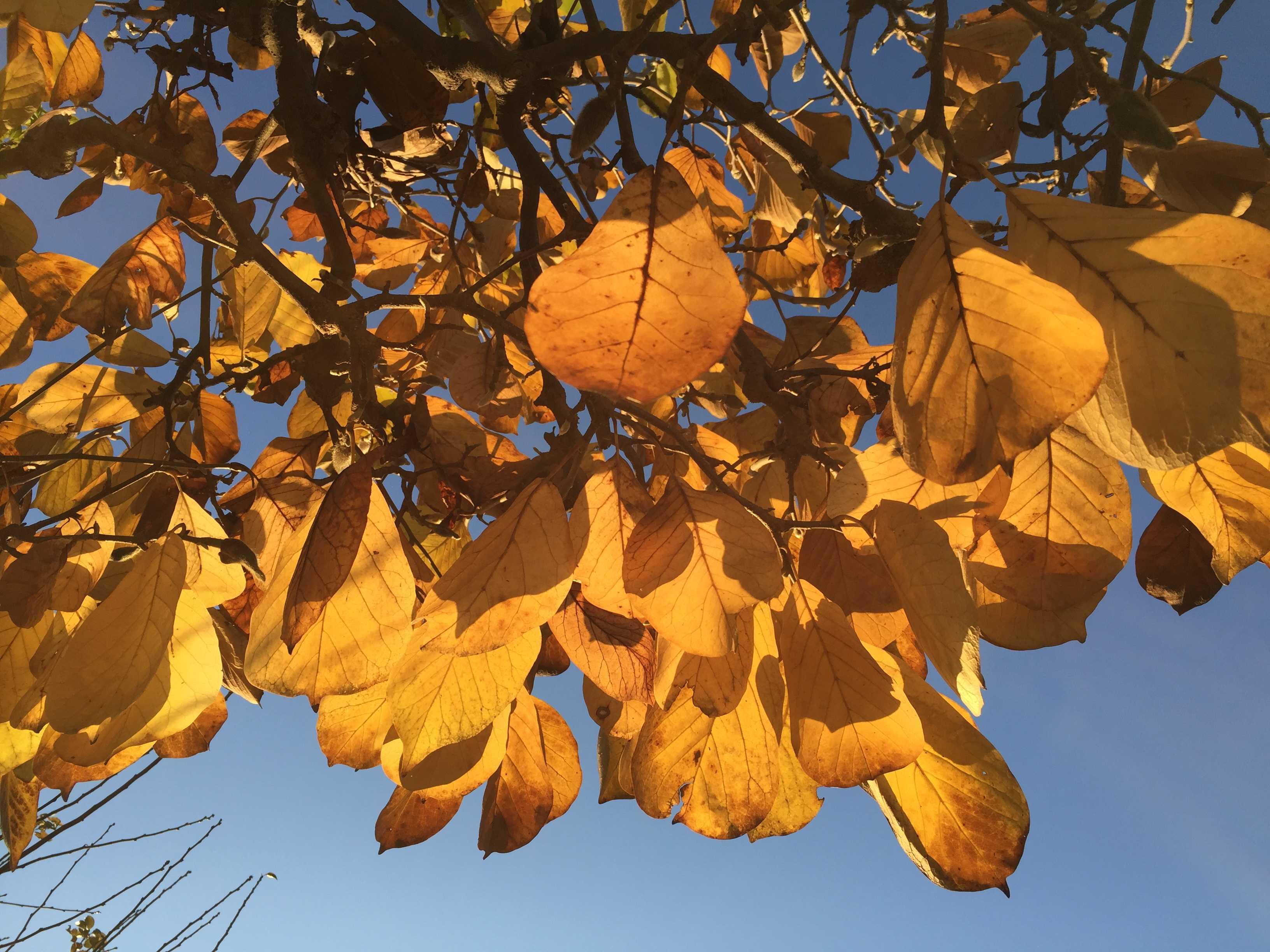 夕陽に輝く黄葉した葉っぱ