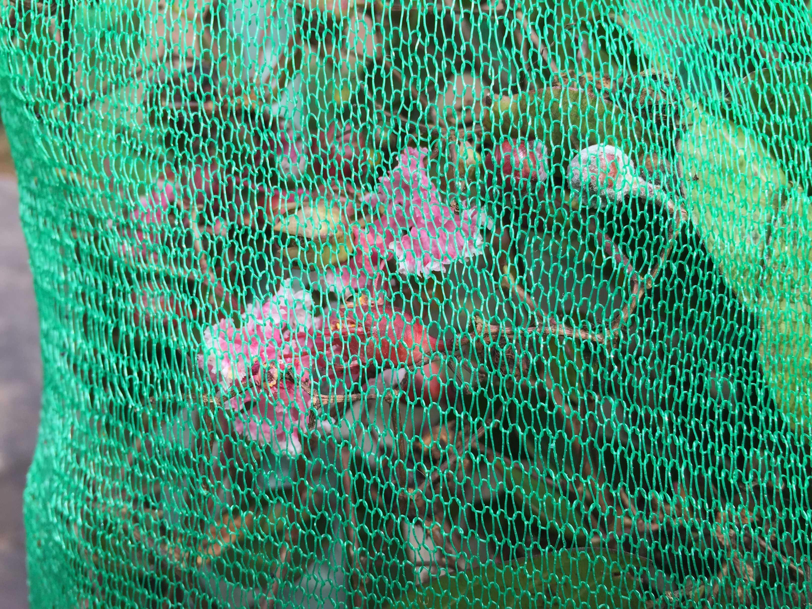 自宅に届いたサルスベリ「ナツマツリ」の緑色の配送用ネット