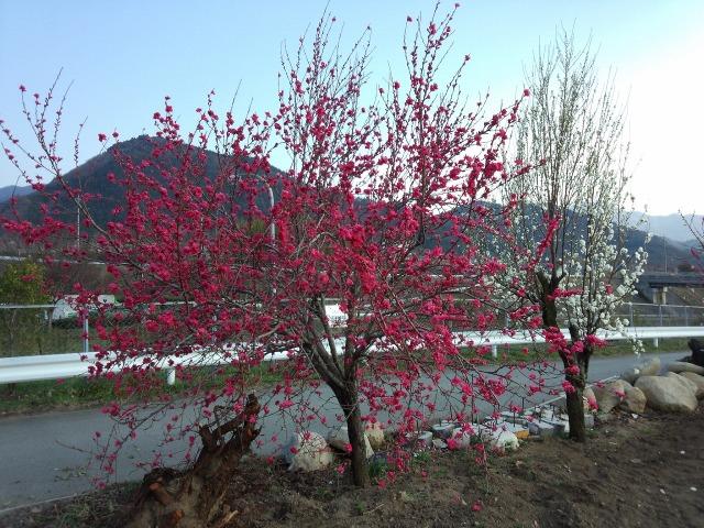紅桃と白桃