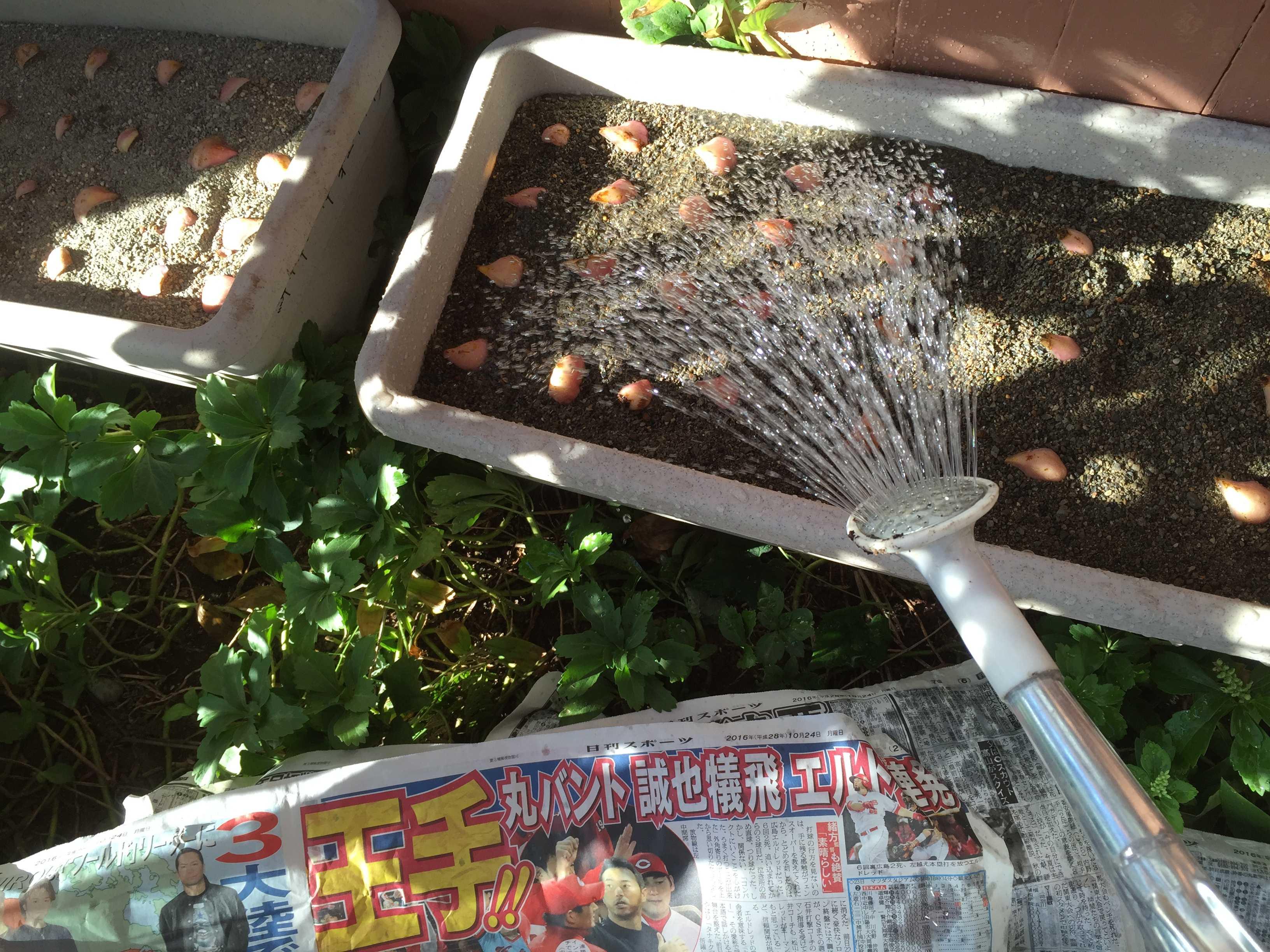 ヤマユリの鱗片への灌水