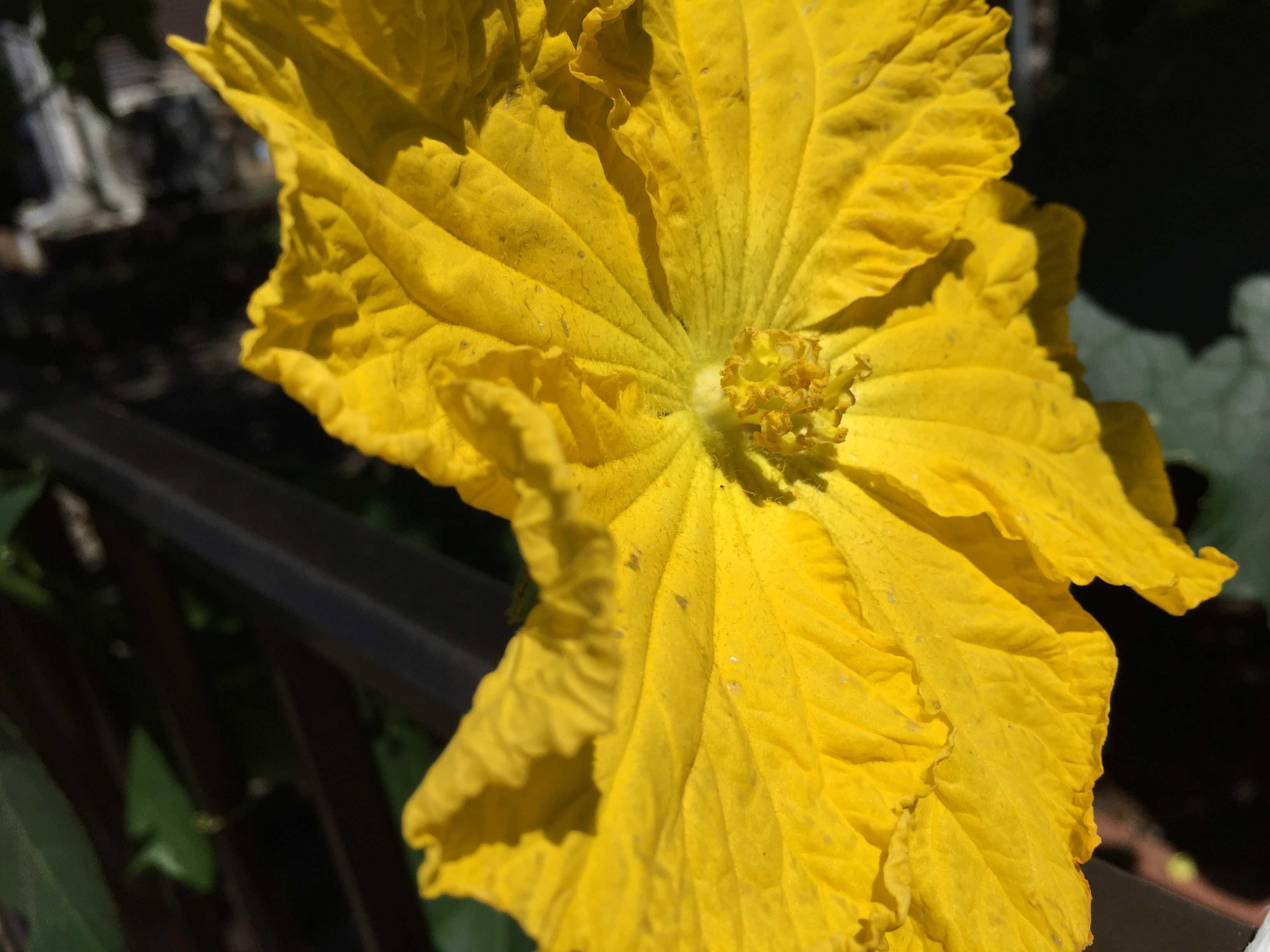 ヘチマの花のイエロー