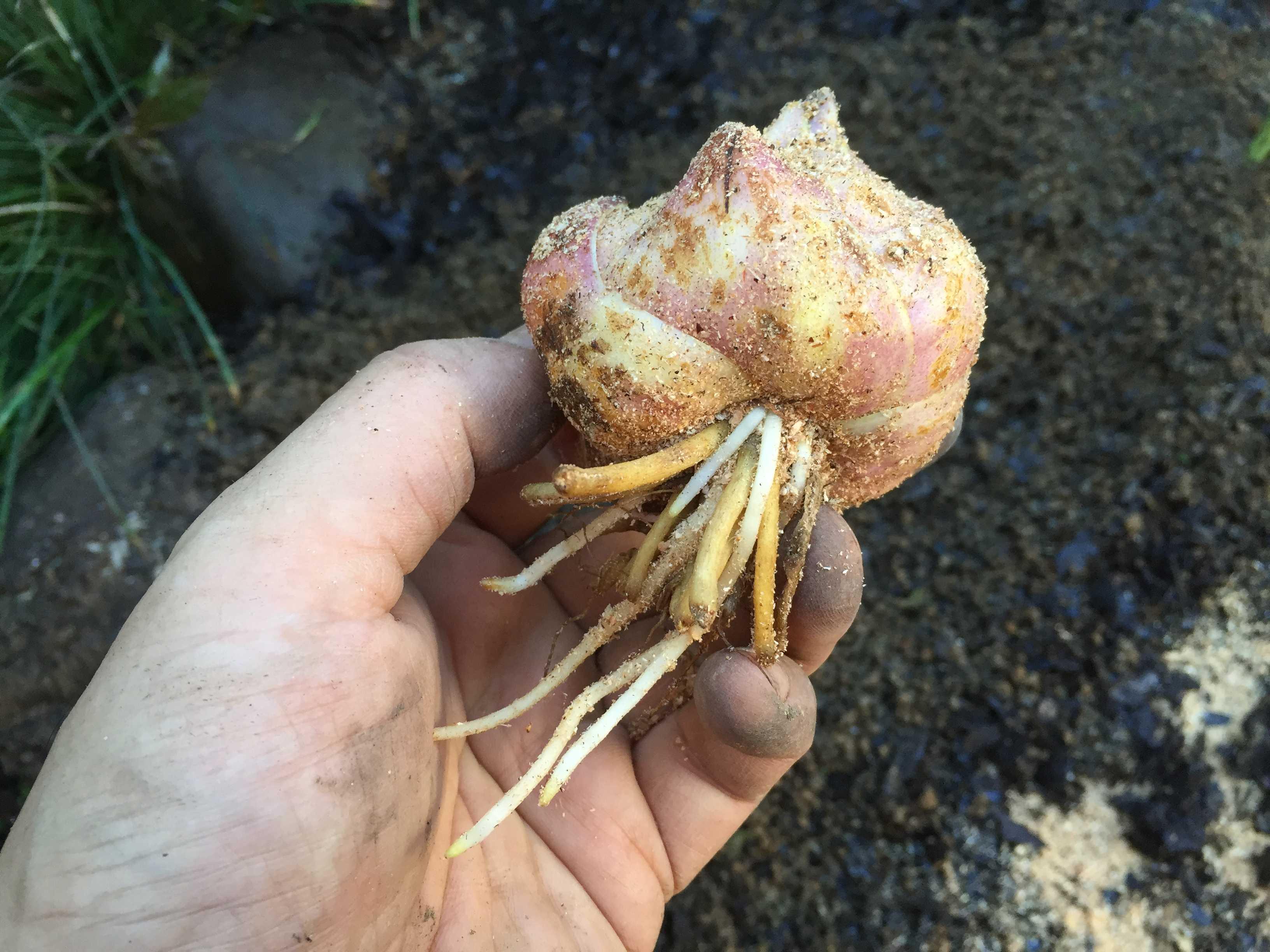 ヤマユリの球根植え付け - 格安球根