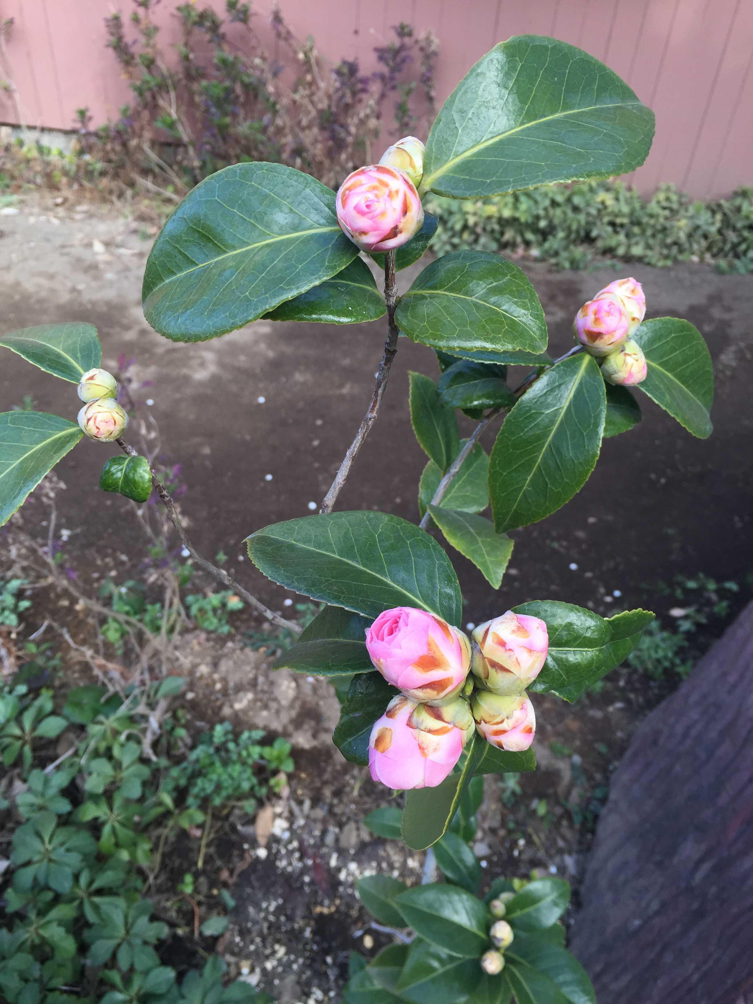 3月中旬の乙女椿(オトメツバキ)の花