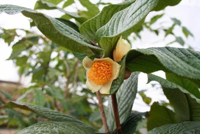 ムラウチイ(Camellia murauchii)