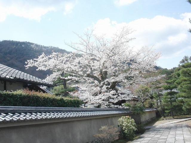 嵐山の路地に咲くさくら