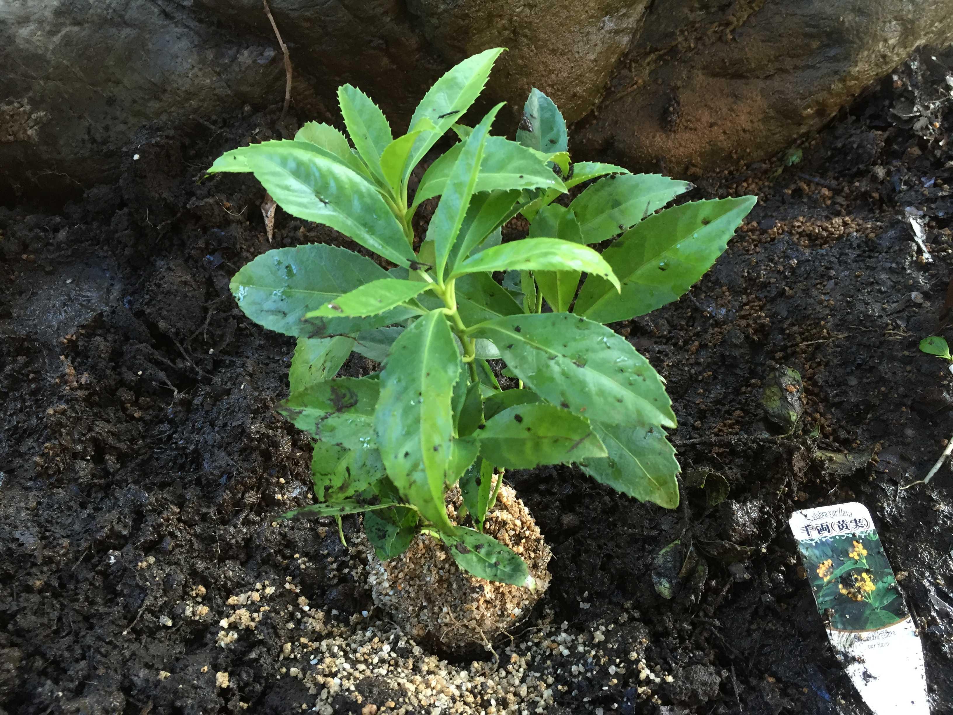 黄実の千両(キミノセンリョウ) の植え穴