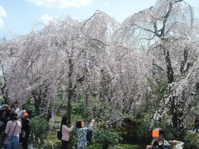 天龍寺・多宝殿の桜